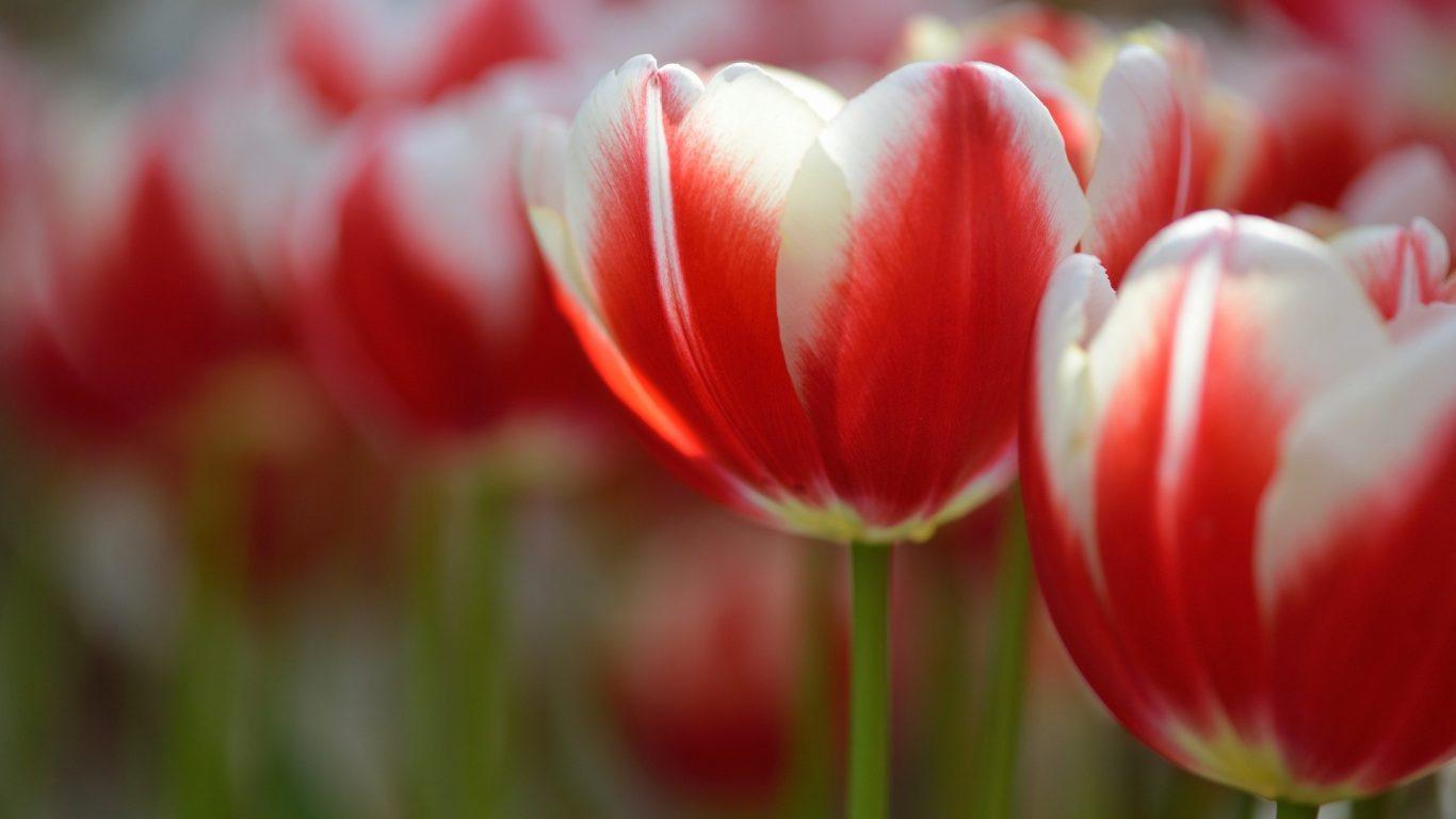 Red Beautiful Tulip Tulips Flowers White Flower Wallpaper - Sprenger's Tulip , HD Wallpaper & Backgrounds