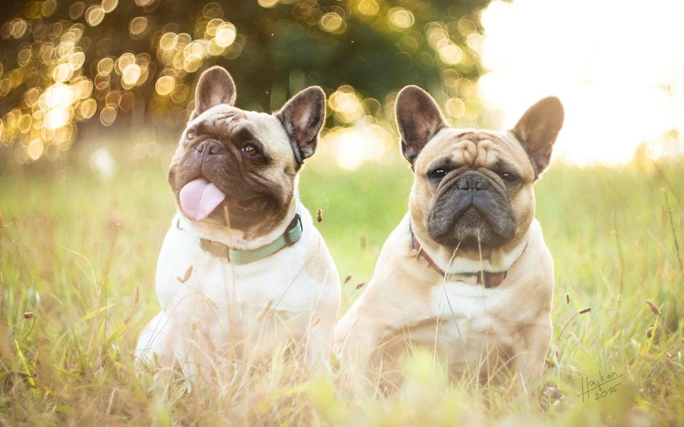 French Bulldogs Two Dogs Grass Wallpaper French Bulldog Wallpaper Laptop 410963 Hd Wallpaper Backgrounds Download
