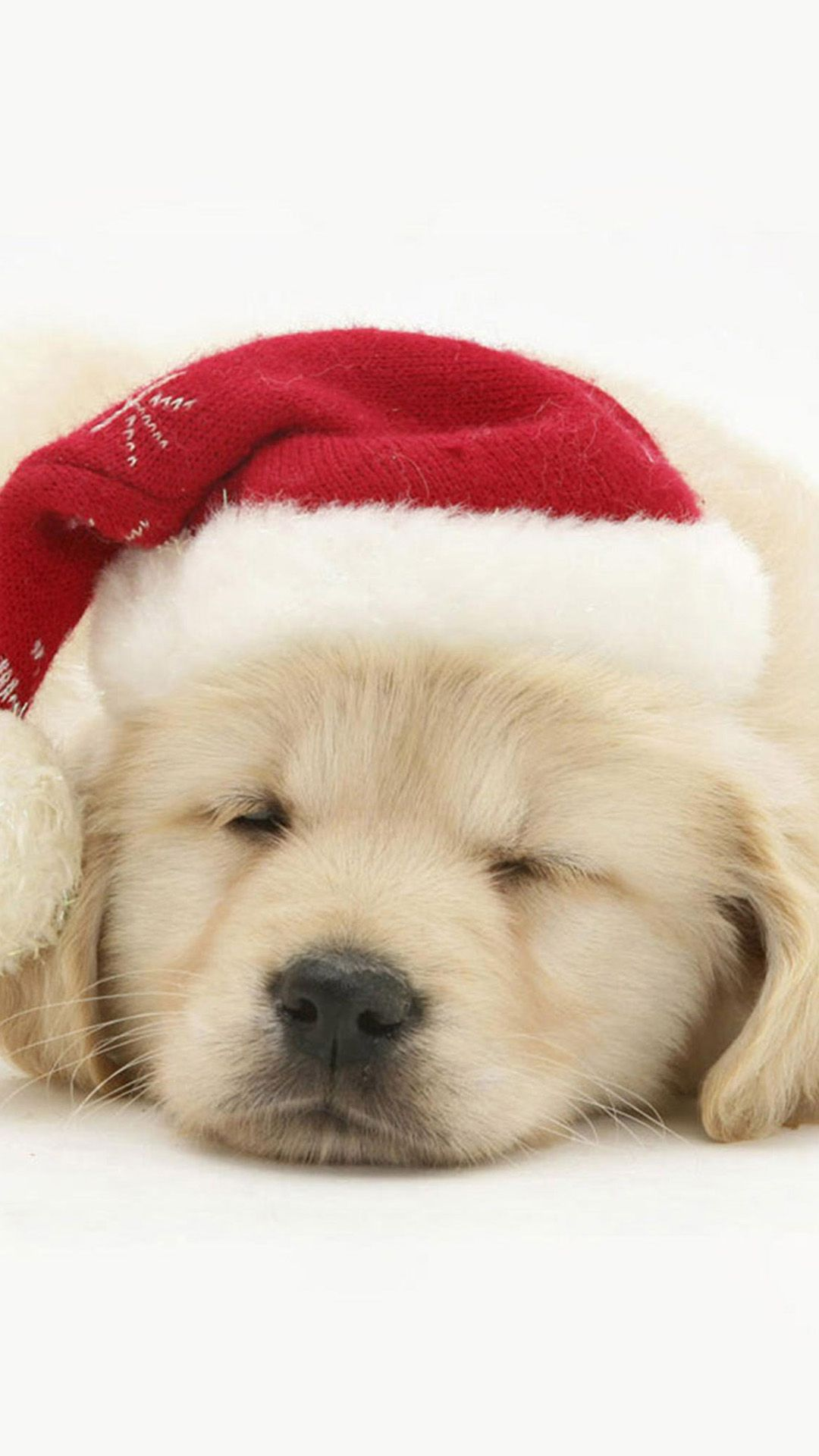 Cute Puppy In Christmas Hat Iphone 8 Wallpaper - Baby Christmas Golden Retrievers , HD Wallpaper & Backgrounds