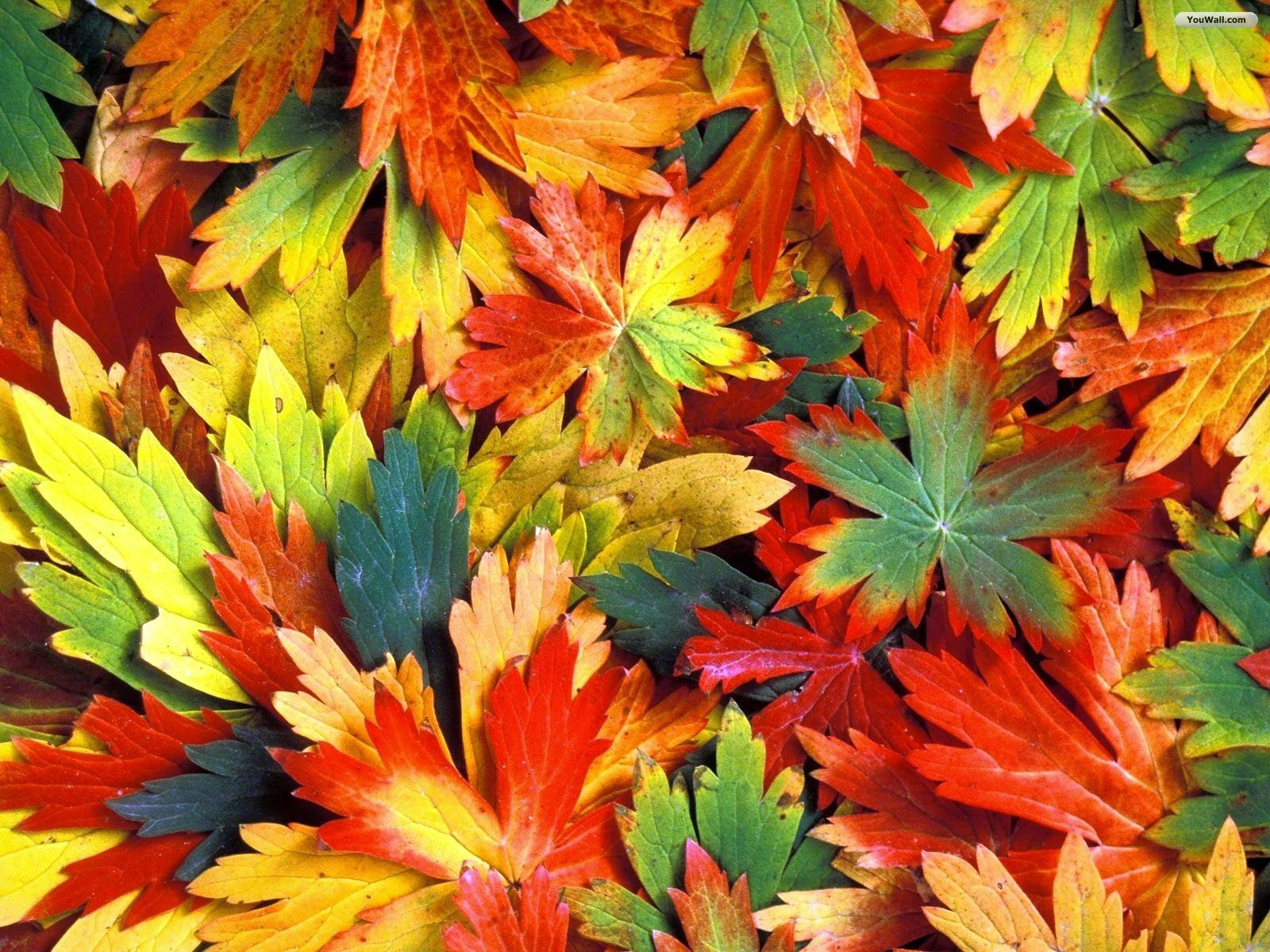Colorful Leaves Hd Colorful Autumn Leaves 414429 Hd