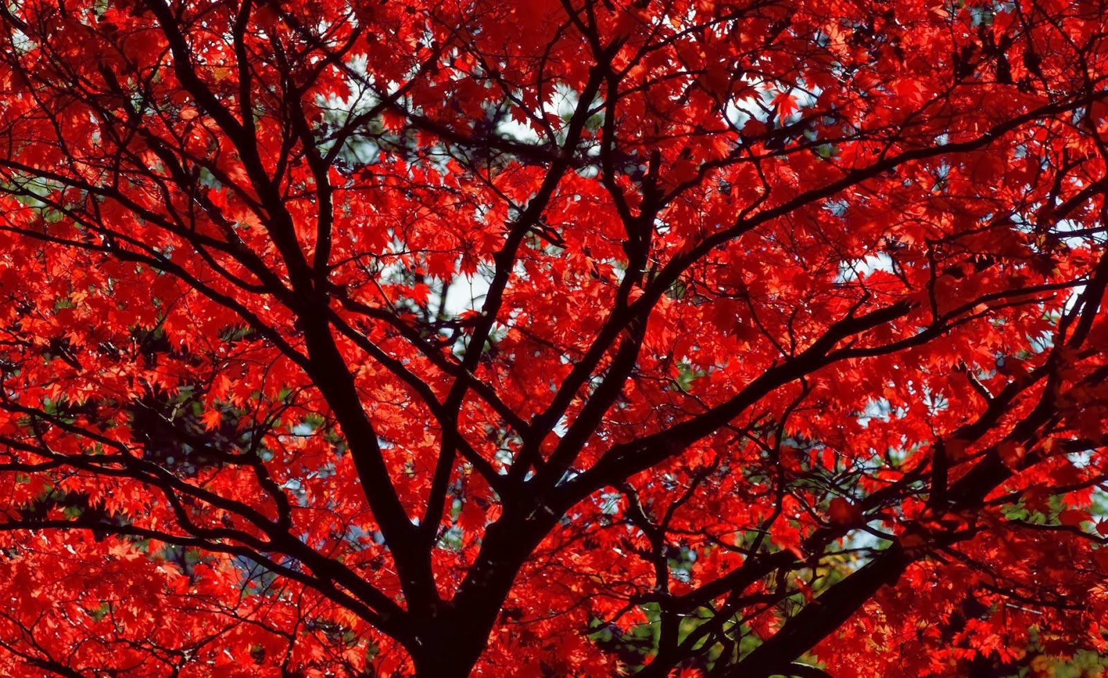 Red Leaves Wallpaper Hd Wallpapers Desktop Dark Red Autumn