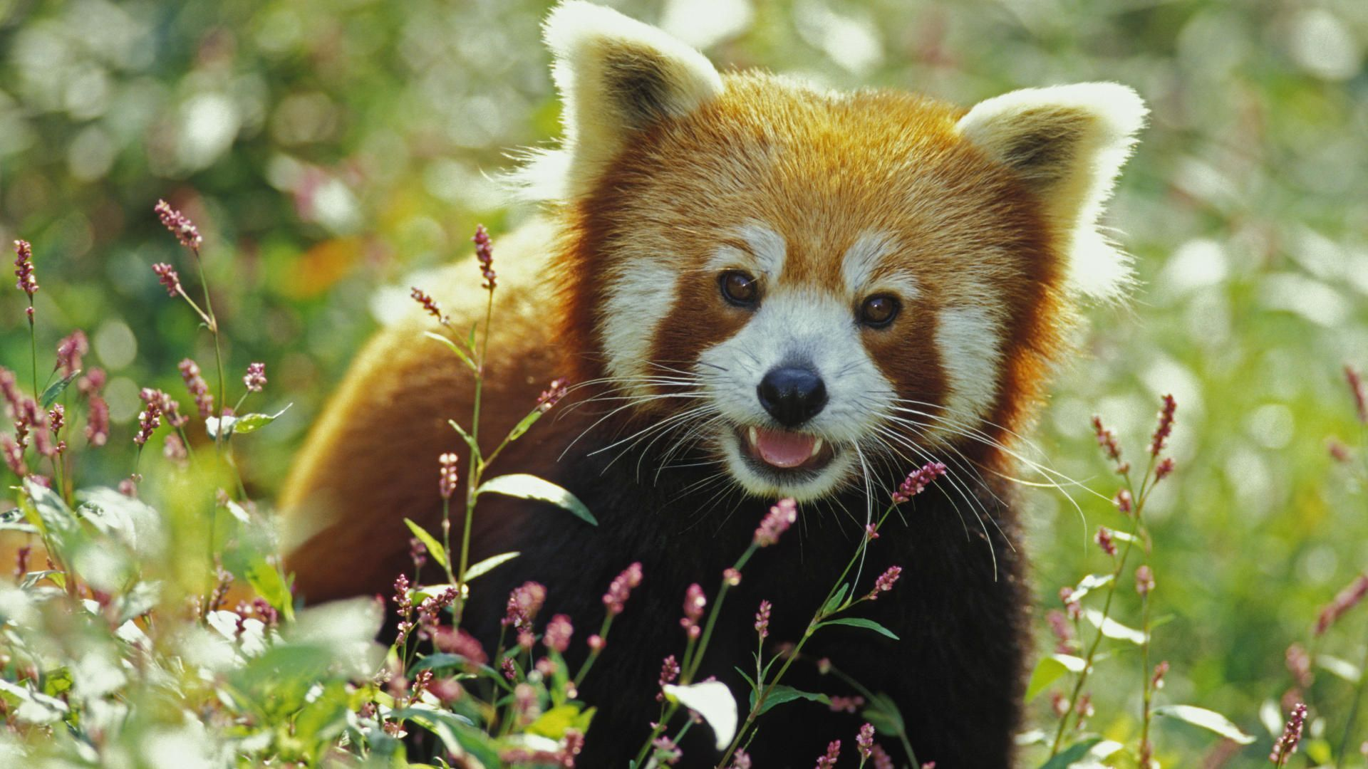 Baby Red Panda Picture Hdq Cover Desktop Background Red Panda 434196 Hd Wallpaper Backgrounds Download