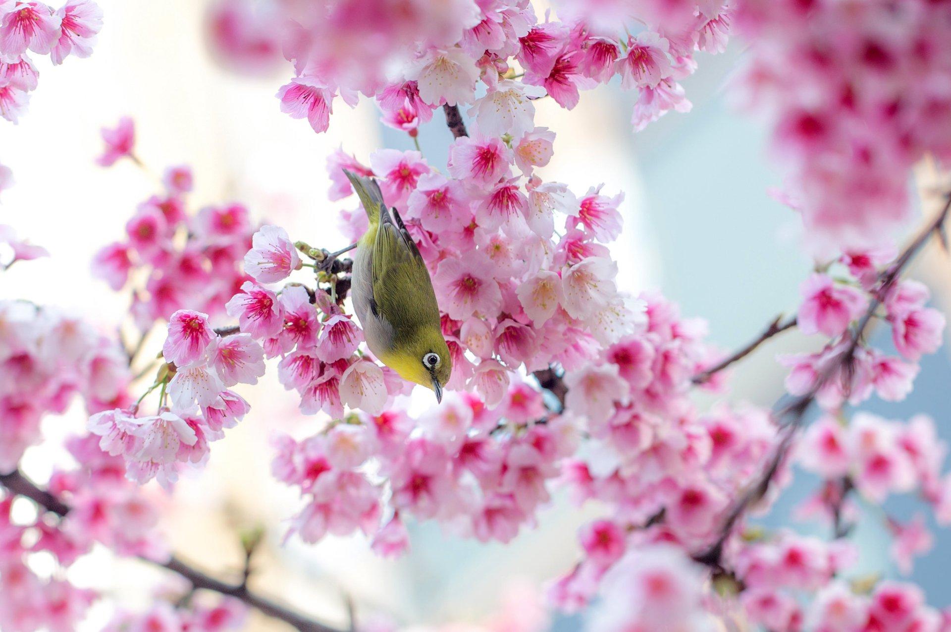Sakura Tree Live Wallpaper Desktophut Pink Cherry Blossom Wallpaper Hd 441369 Hd Wallpaper Backgrounds Download