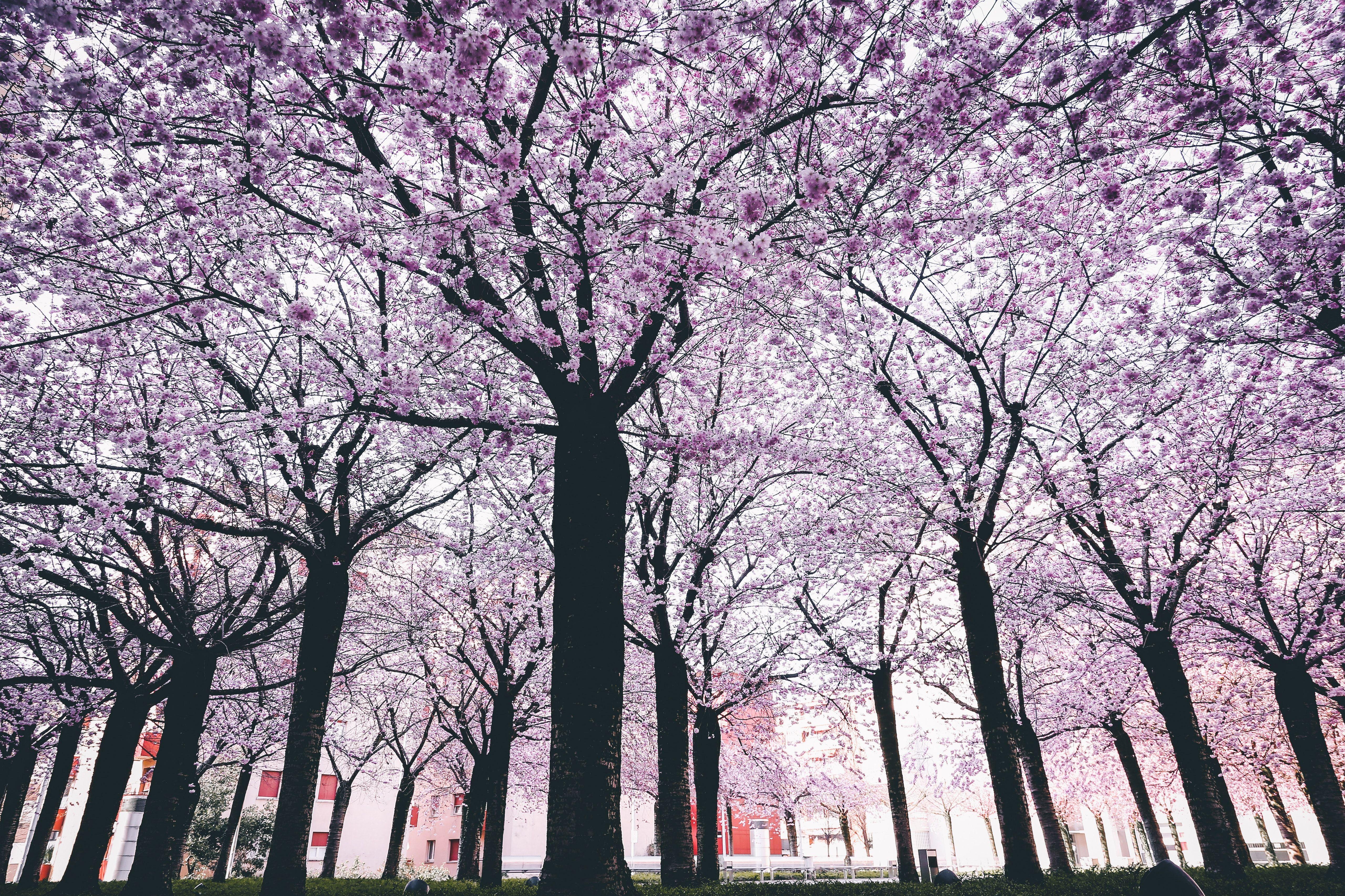 Famous Sakura Flower 5k Wallpaper Hd Spring Trees 444418