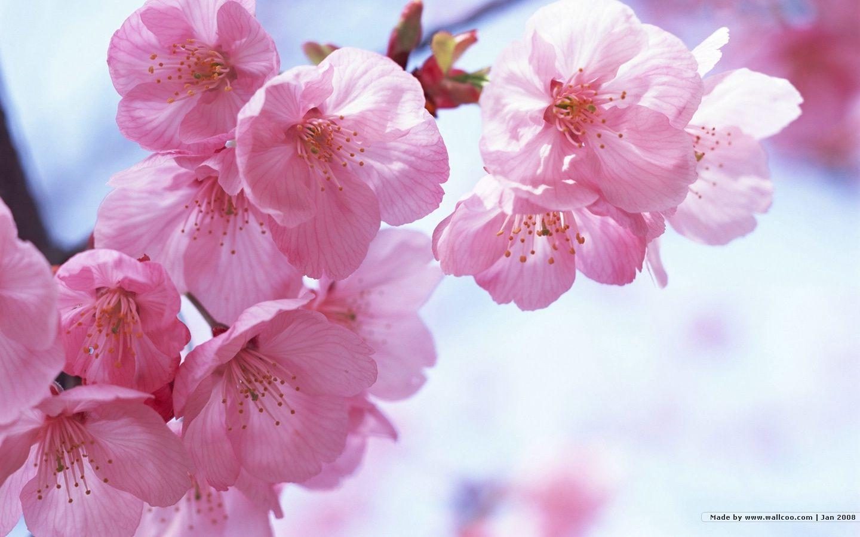 1440*900 Japanese Sakura Wallpapers - Flower Cherry Blossom Free , HD Wallpaper & Backgrounds