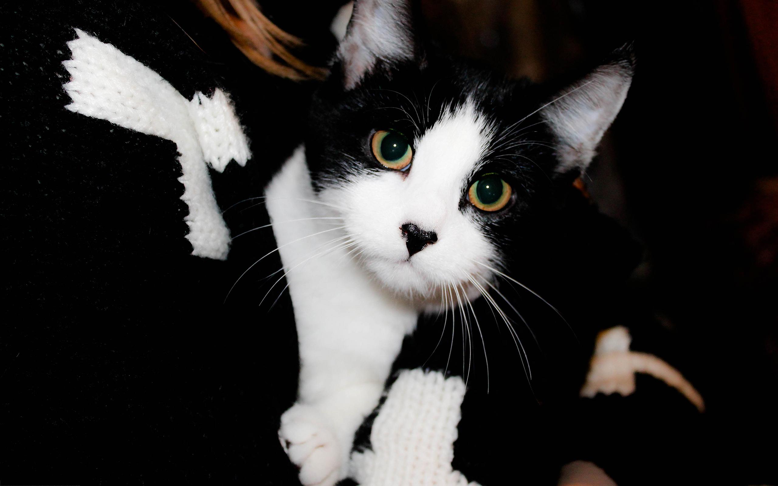 Cute Black White Cat Black White Cat Cute 445527 Hd Wallpaper Backgrounds Download