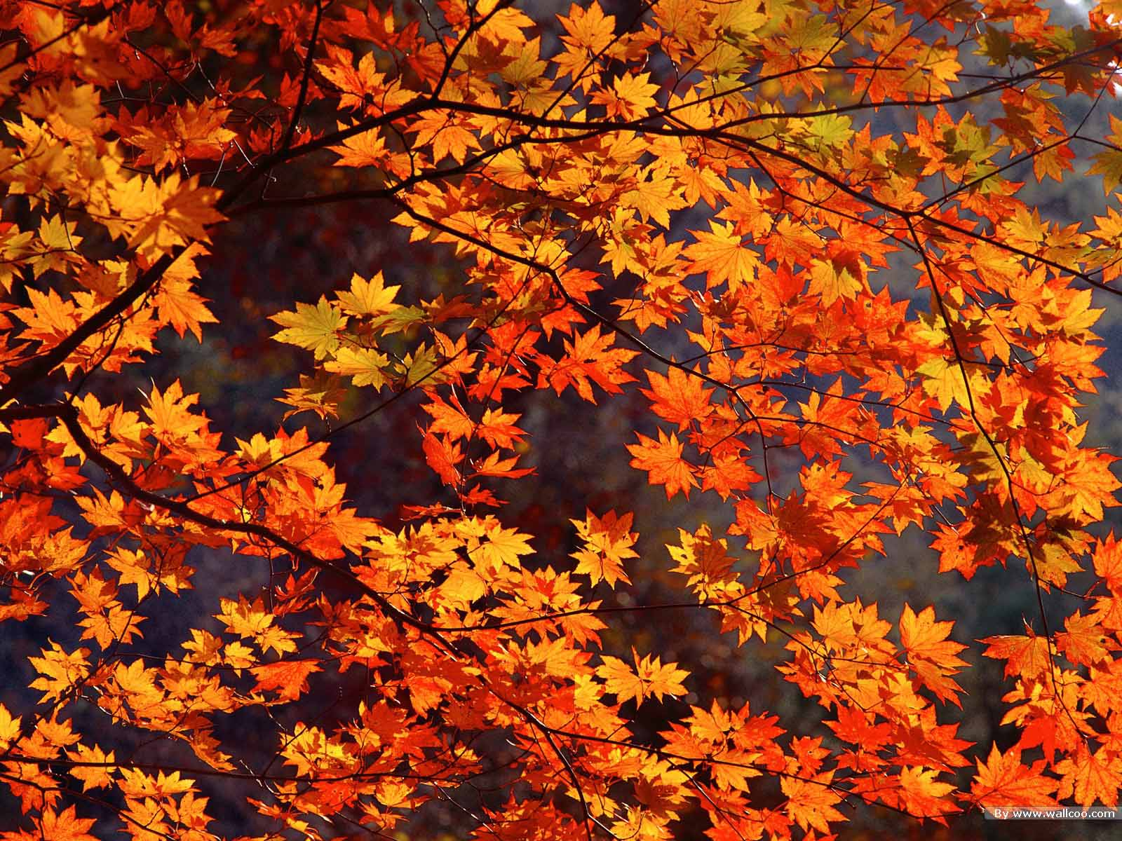 Autumn Leaves Live Wallpaper Free Fall Computer Wallpaper
