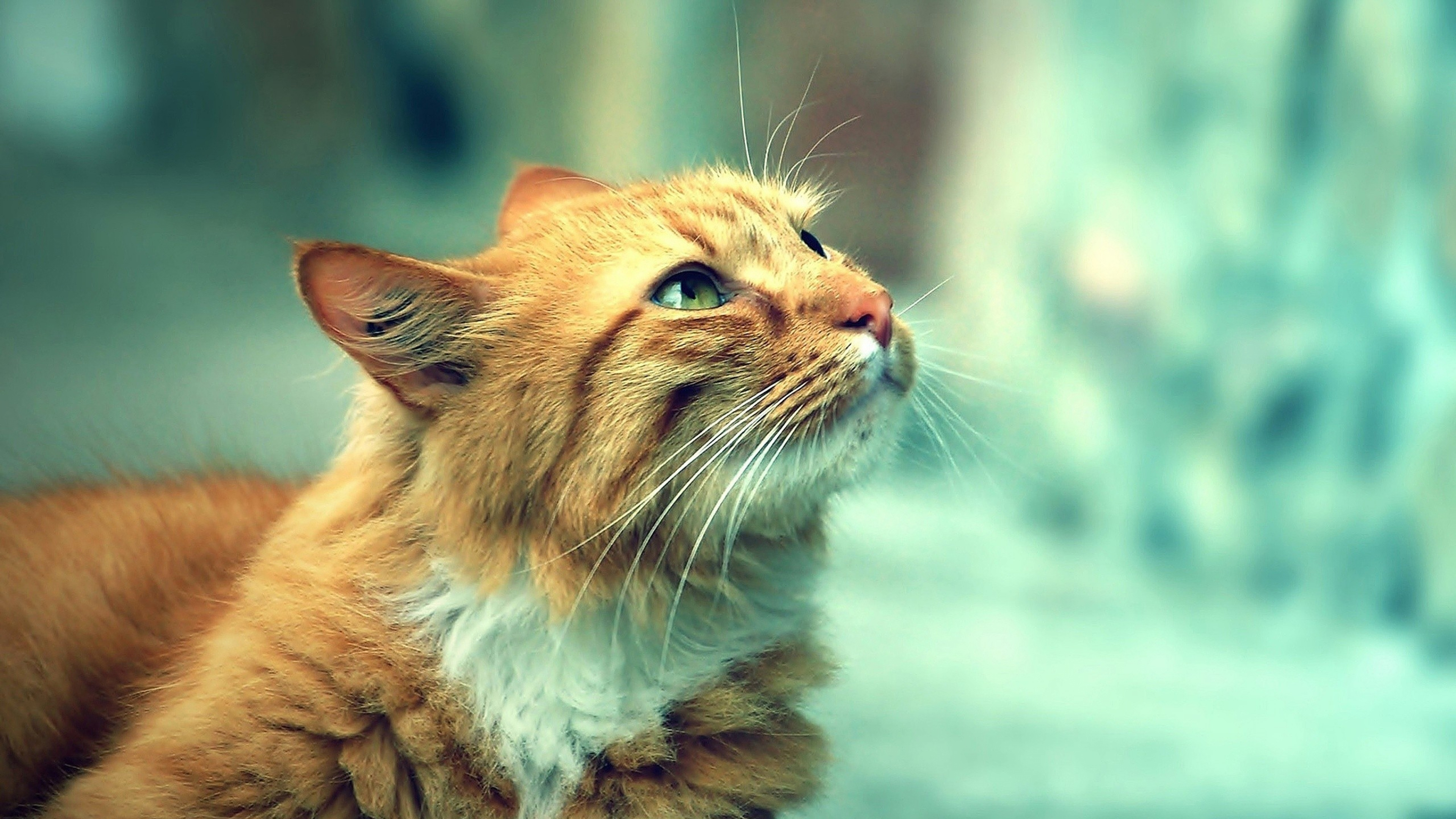Cool Cats Wallpapers Online Ginger And White Cat With