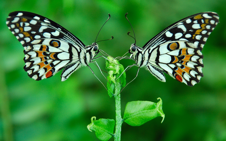 Greatest Two Beautiful Butterflies Wallpaper - Wonders Of World Animals , HD Wallpaper & Backgrounds