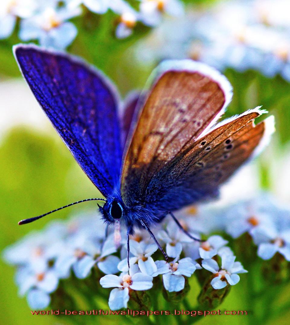 Beautiful Butterflies Wallpaper Beautiful Wallpapers - Most Beautiful Butterfly , HD Wallpaper & Backgrounds
