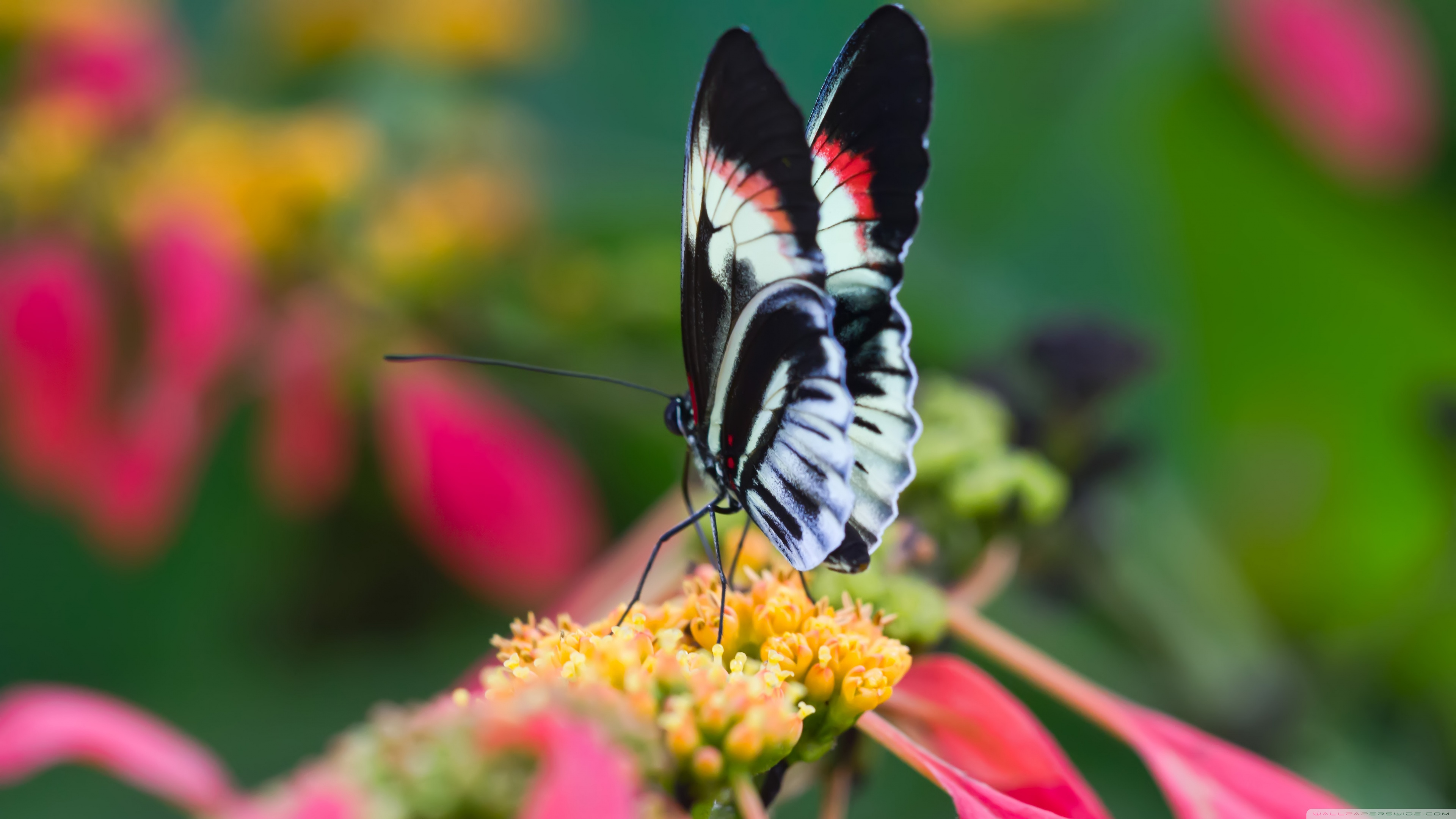 Beautiful Butterfly On Flower Macro Wallpapers - 4k Ultra Hd Butterfly , HD Wallpaper & Backgrounds