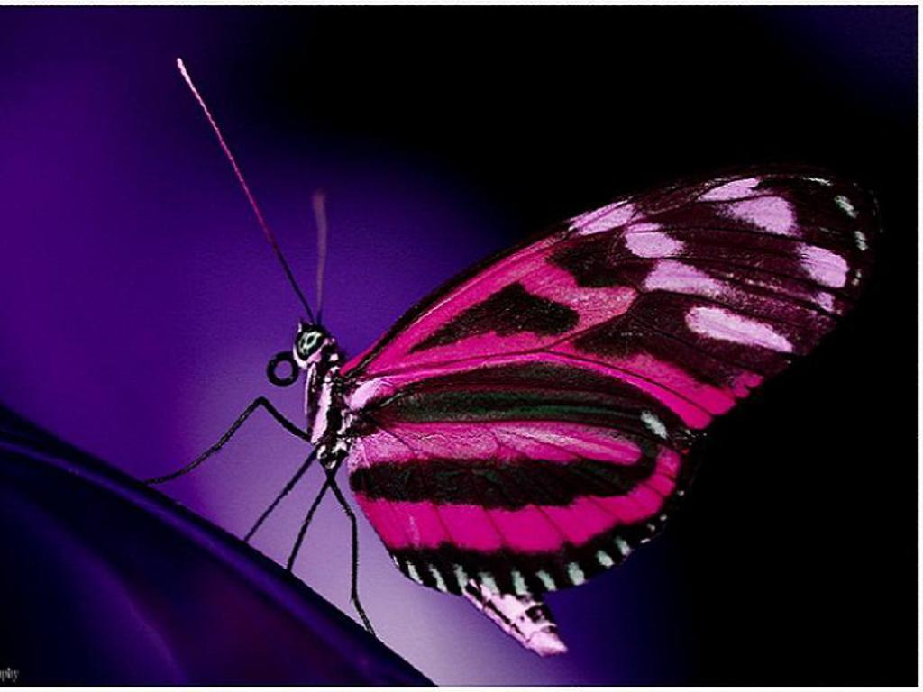 Pink Butterfly - Pink Natural Pink Butterfly , HD Wallpaper & Backgrounds