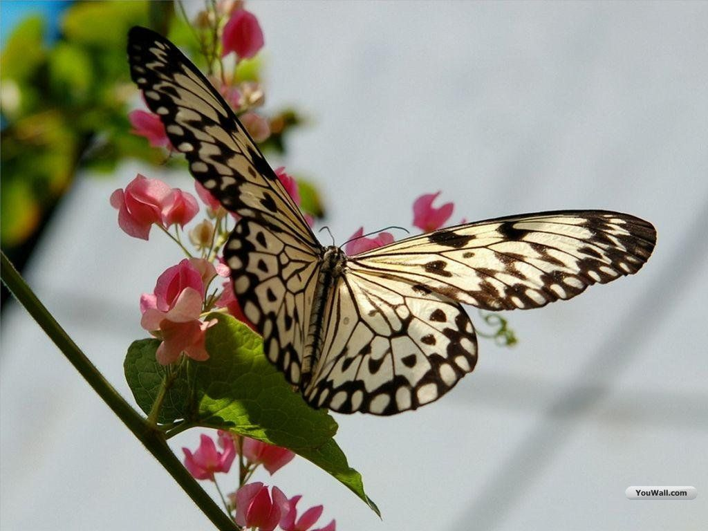 Butterfly Wallpapers , HD Wallpaper & Backgrounds