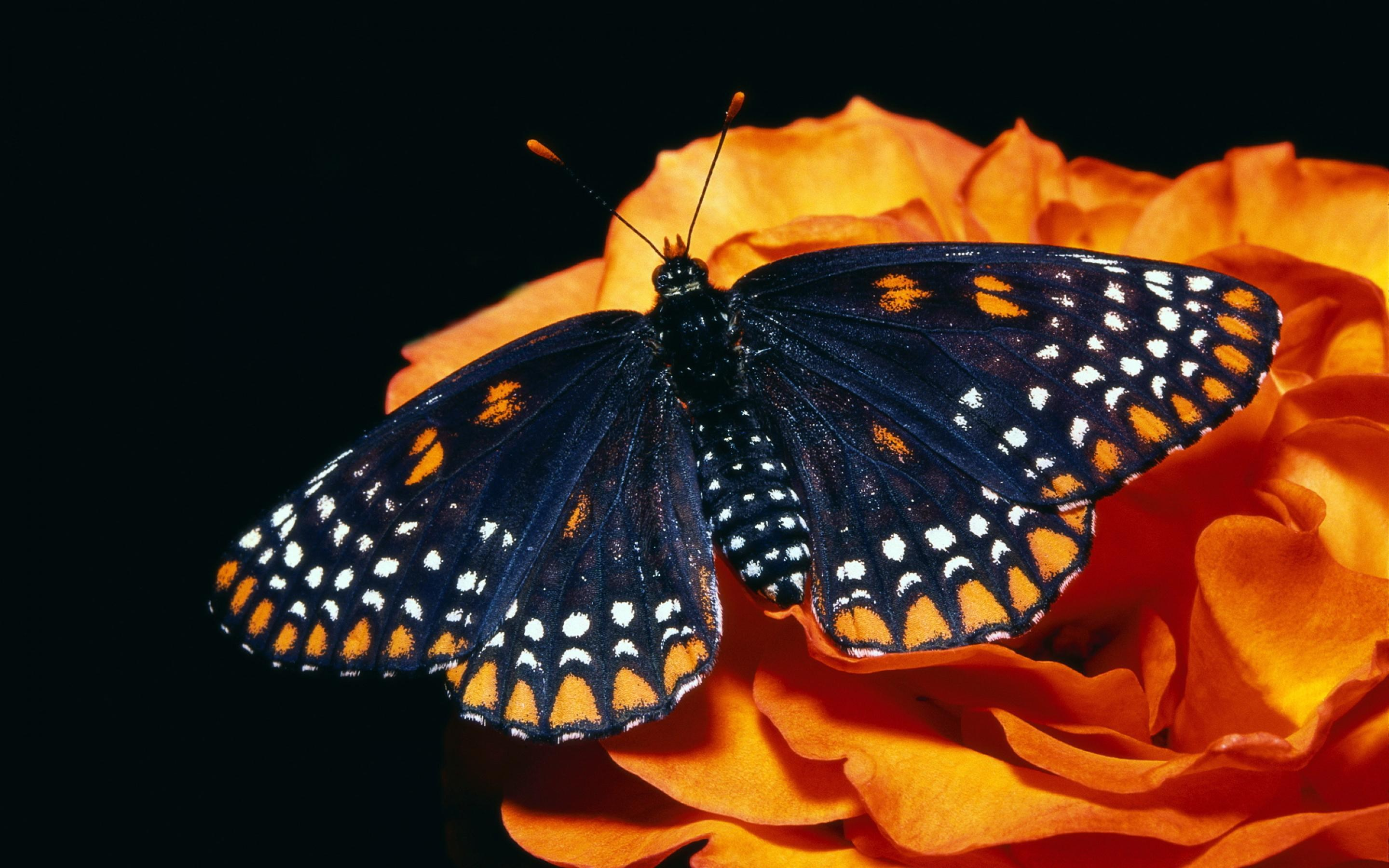 Black And Orange Butterfly 485535 Hd Wallpaper Backgrounds Download
