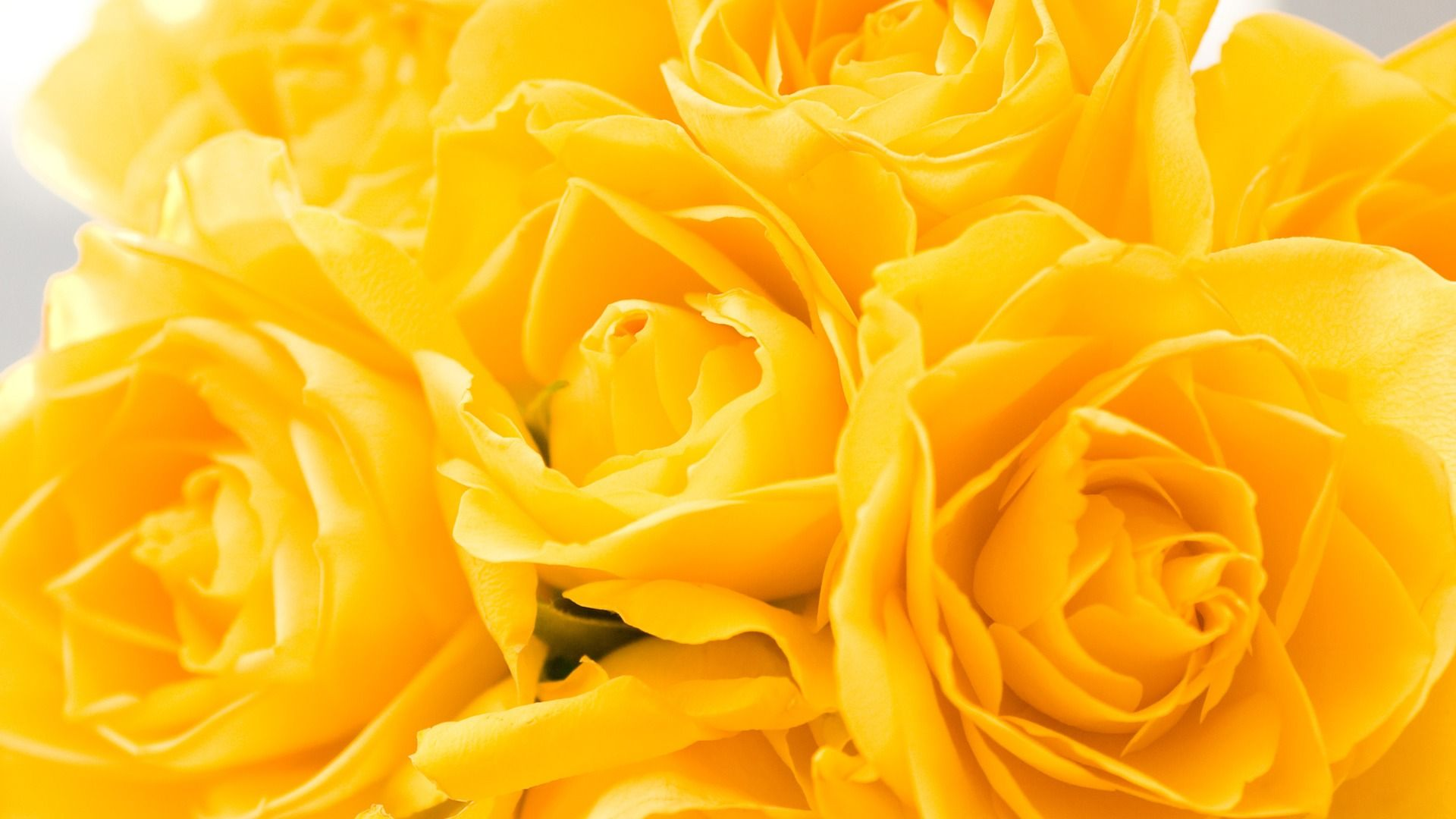 Yellow Roses - Yellow Flowers Hd , HD Wallpaper & Backgrounds