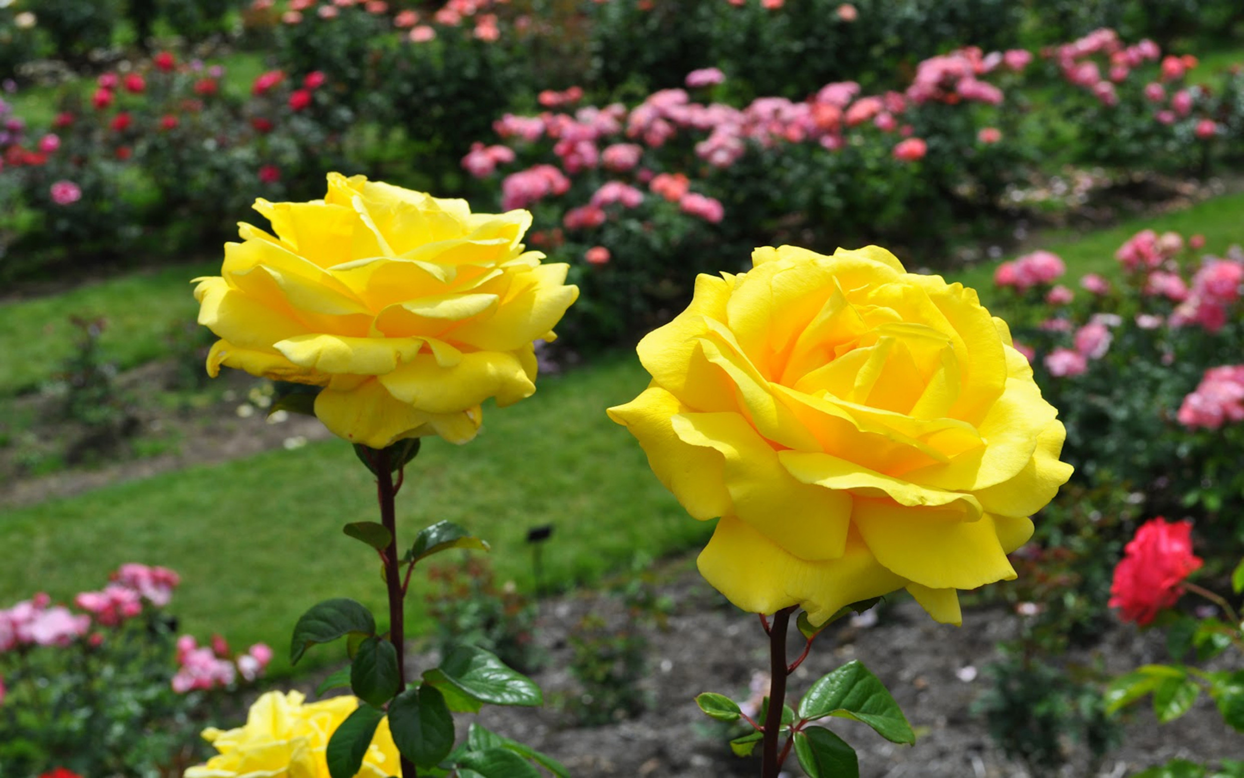 Most Beautiful Yellow Roses Wallpapers15 Good Morning Romantic Rose 498256 Hd Wallpaper Backgrounds Download