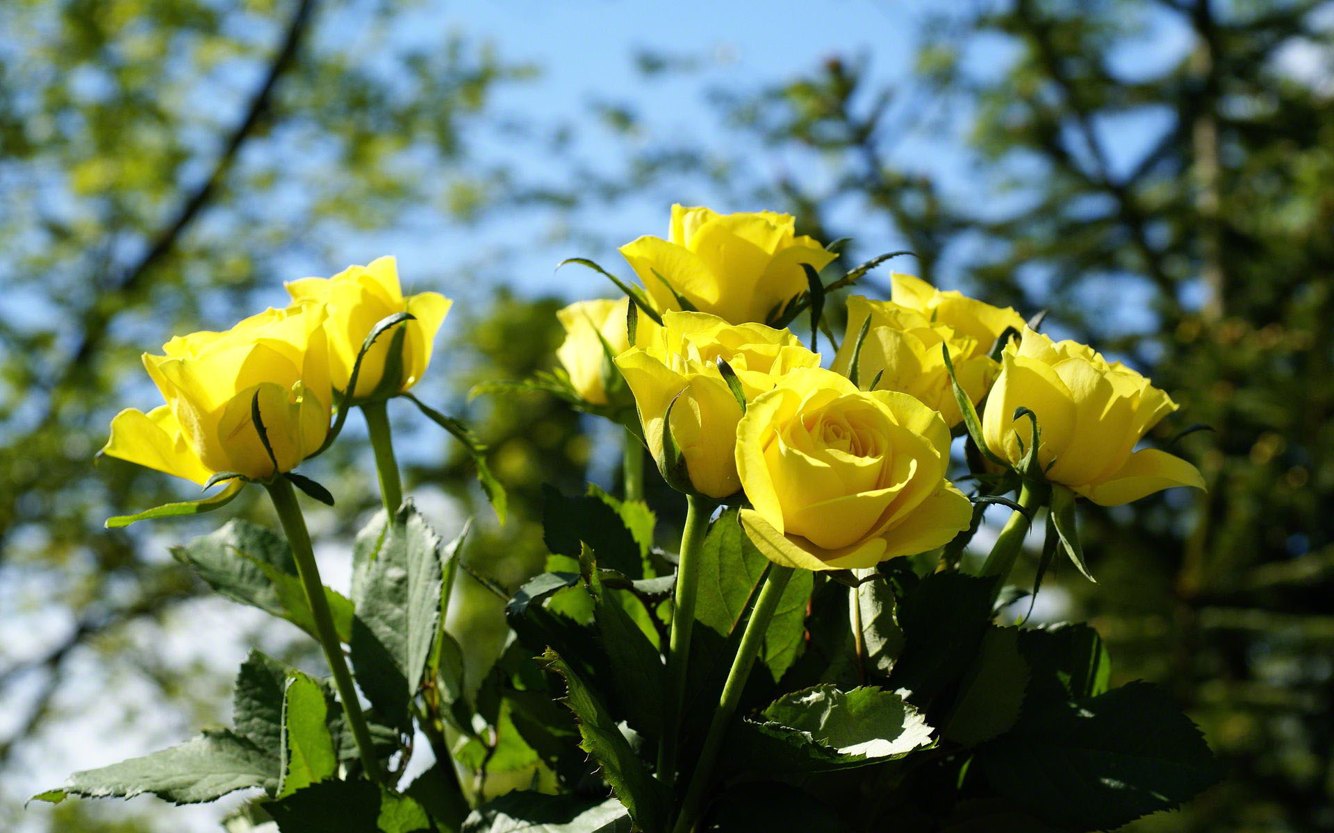 Yellow Rose Pictures - Yellow Roses In Nature , HD Wallpaper & Backgrounds