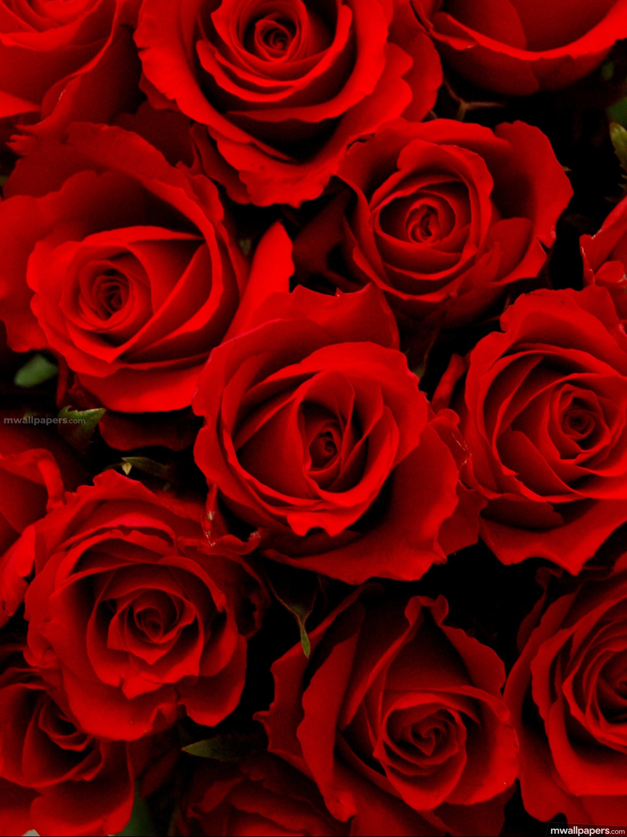 Roses Beautiful Hd Photos - Blue Rose Hd Image Downlood , HD Wallpaper & Backgrounds