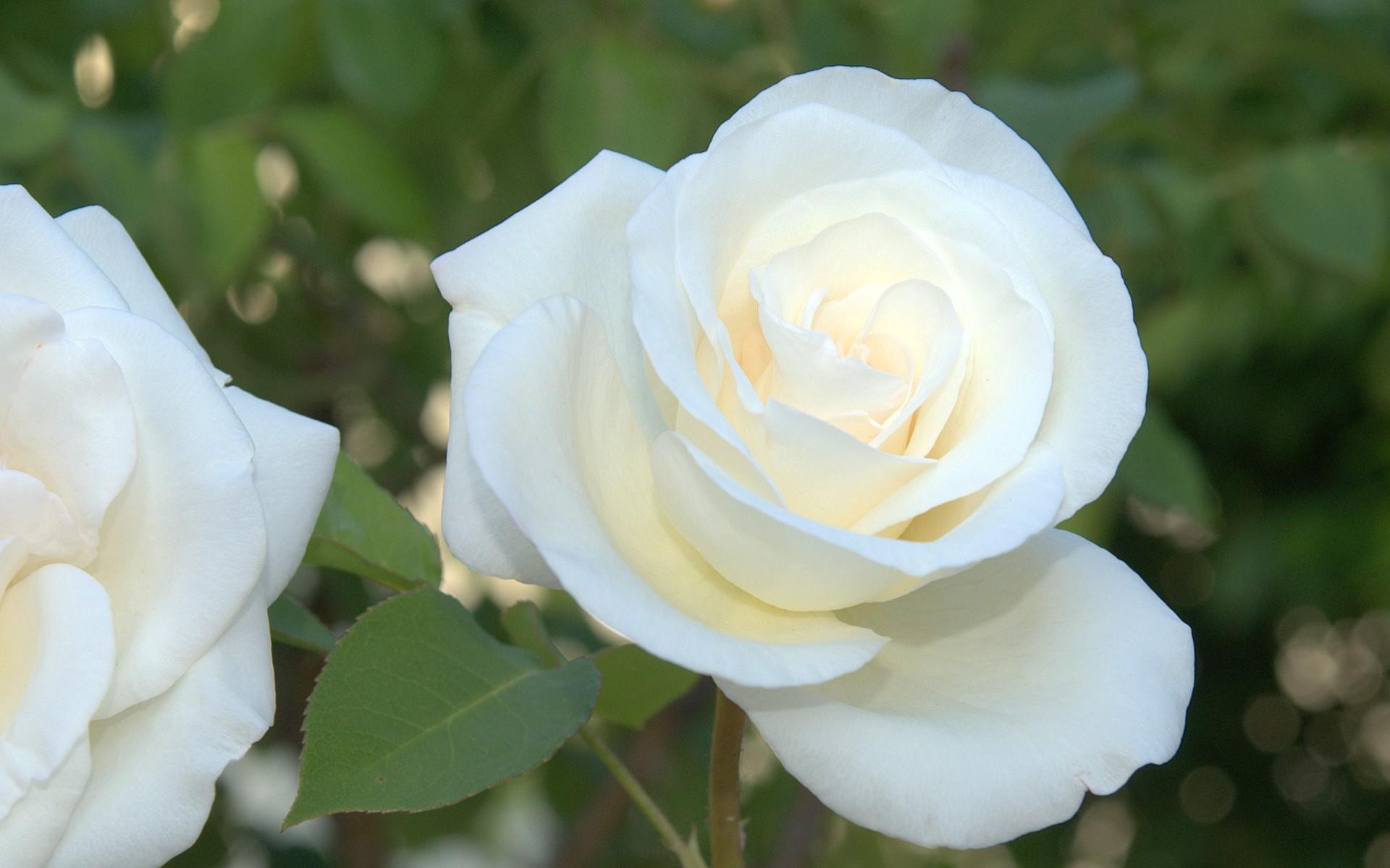 Wallpaper Resolutions - World Beautiful Rose Flowers , HD Wallpaper & Backgrounds