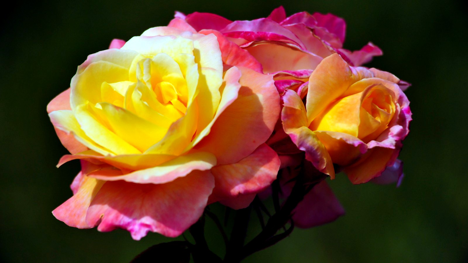 Yellow Rose , HD Wallpaper & Backgrounds