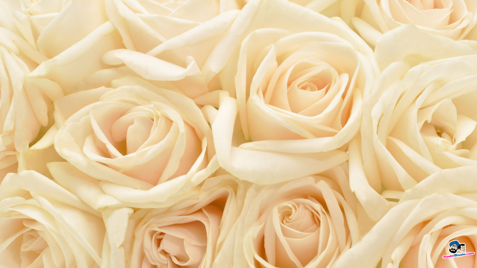 White Rose Wallpapers Group With 73 Items 498585 Hd Wallpaper