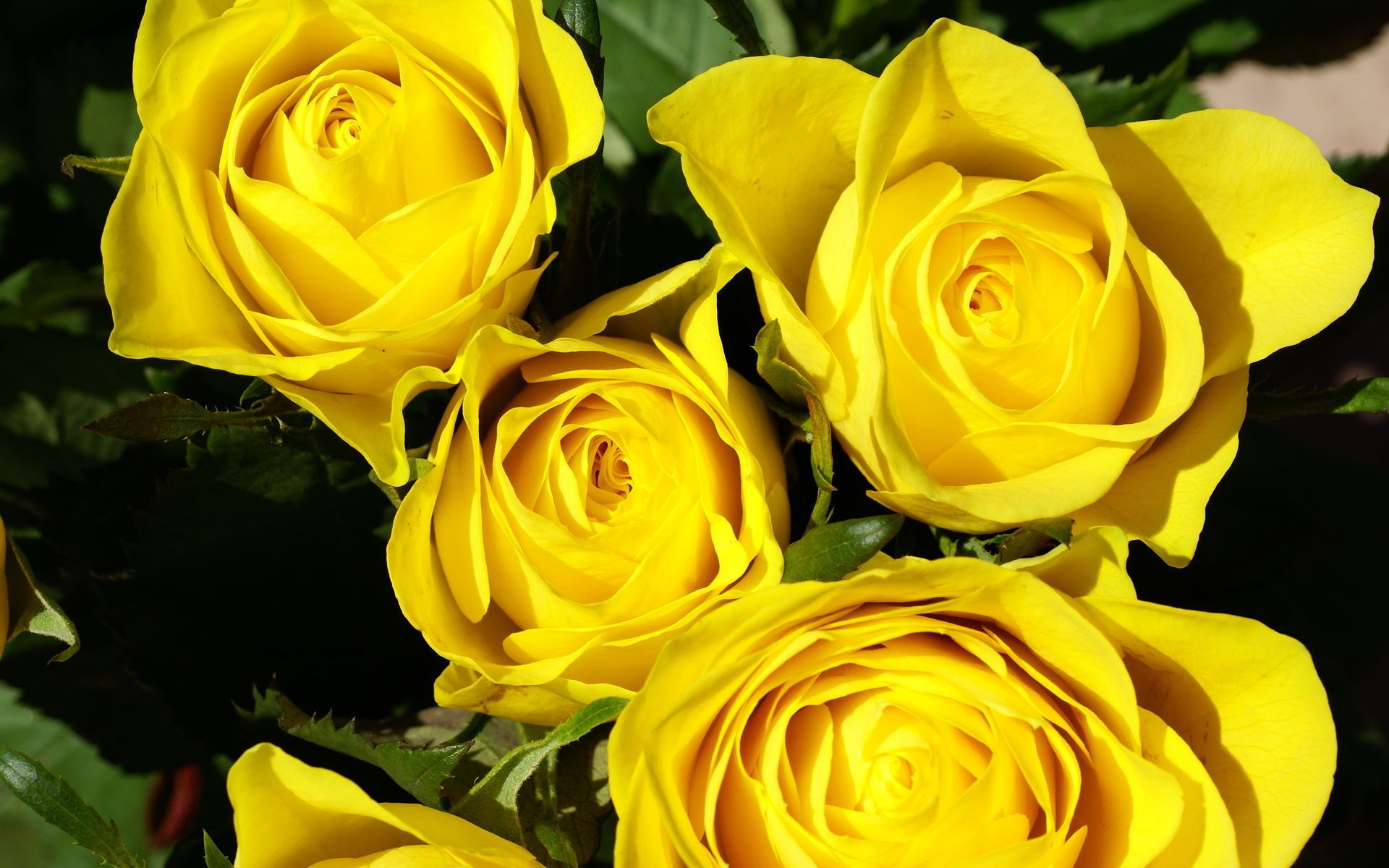 Hd Yellow Roses Wallpaper, Roses, Yellow, Nature, Beautiful, - Yellow And Black Rose , HD Wallpaper & Backgrounds