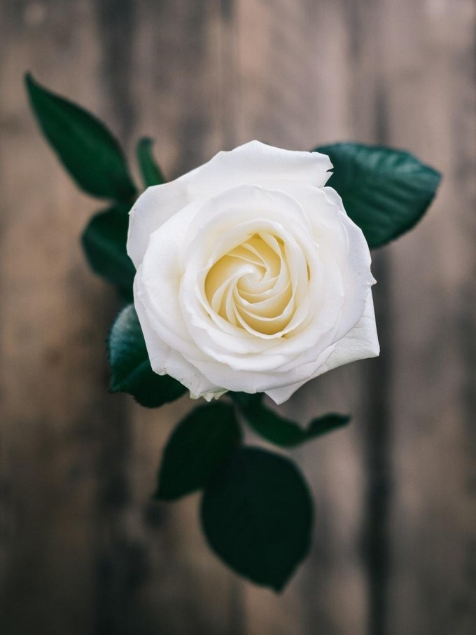 white rose hd wallpaper iphone