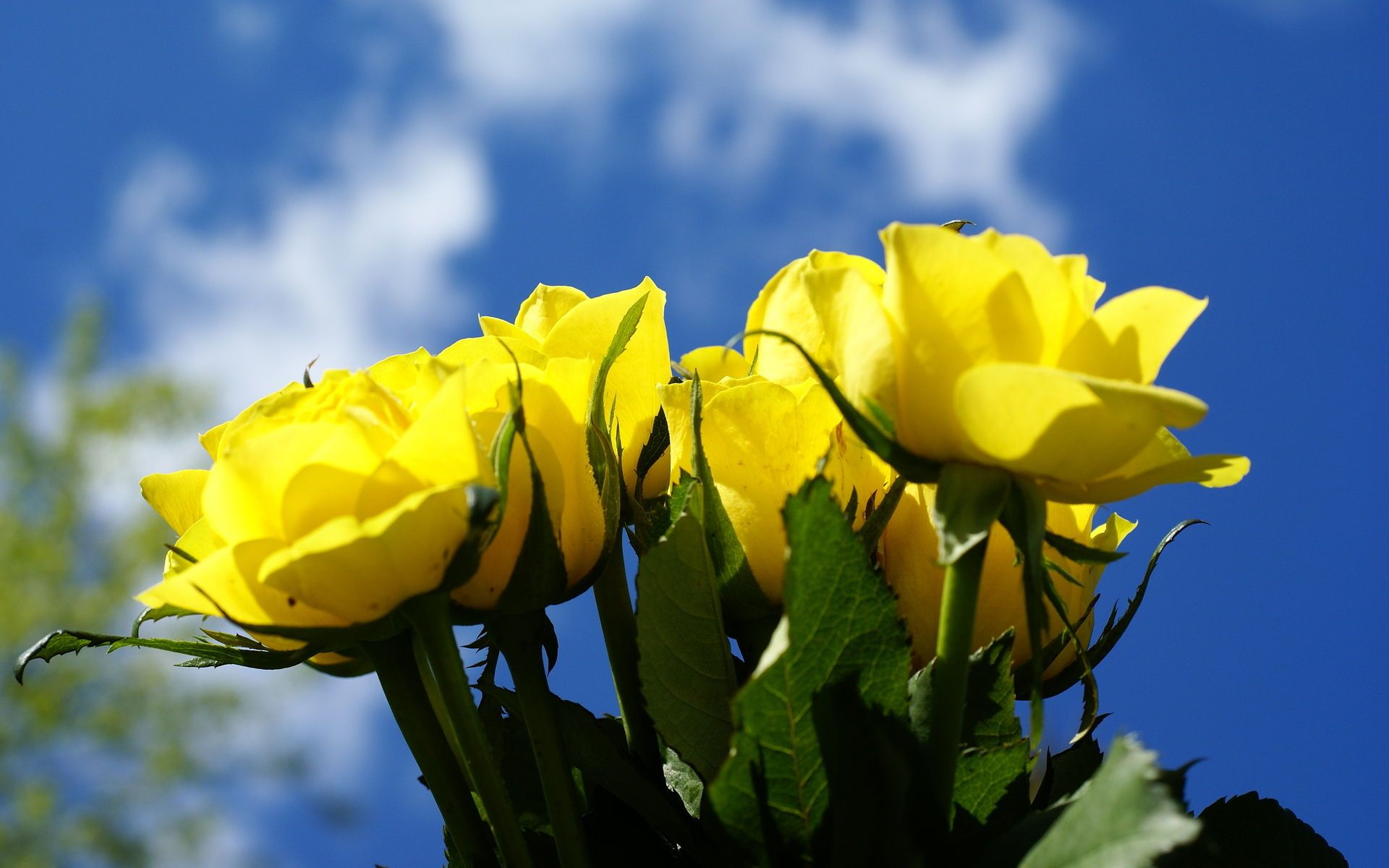 Hd Yellow Rose Wallpaper, Sky, Flower, Yellow, Beautiful,3d - Yellow Rose For Friends Happy Rose Day , HD Wallpaper & Backgrounds