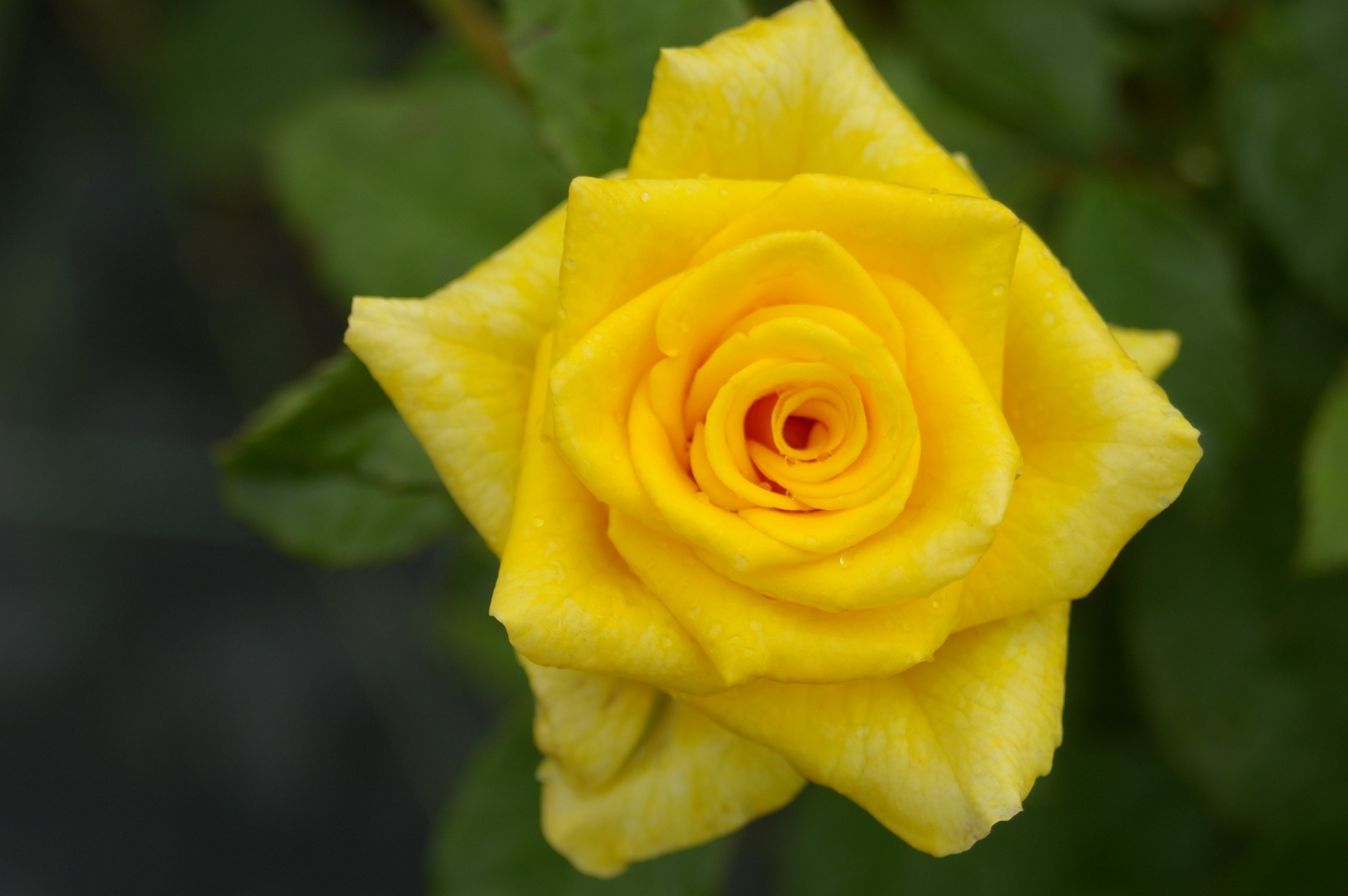 Nature Beautiful Green Rose Forever Flowers Yellow - Garden Roses , HD Wallpaper & Backgrounds