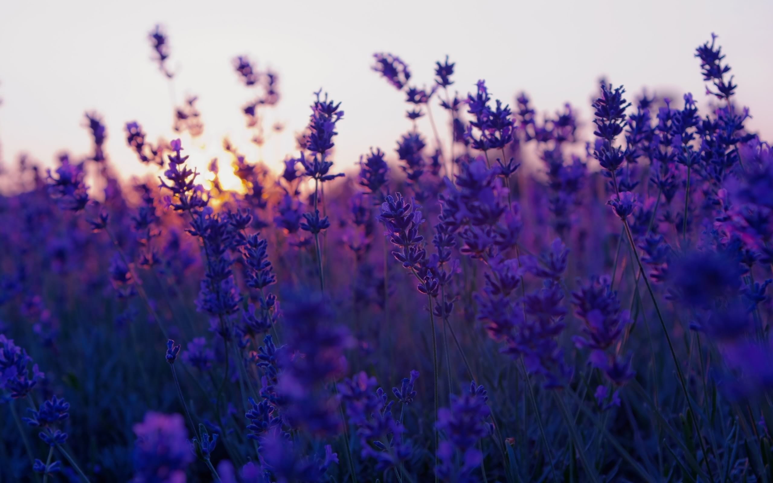 Related Wallpaper Collections - Lavender Flower , HD Wallpaper & Backgrounds