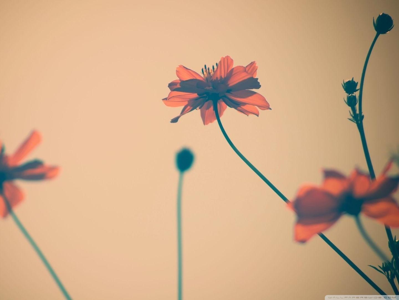 Standard - Flowers , HD Wallpaper & Backgrounds