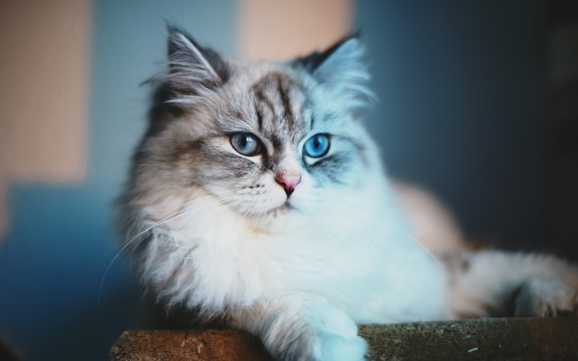 Blue Cat Meow Wallpaper Norwegian Forest Cat Blue Eyes 510896 Hd Wallpaper Backgrounds Download