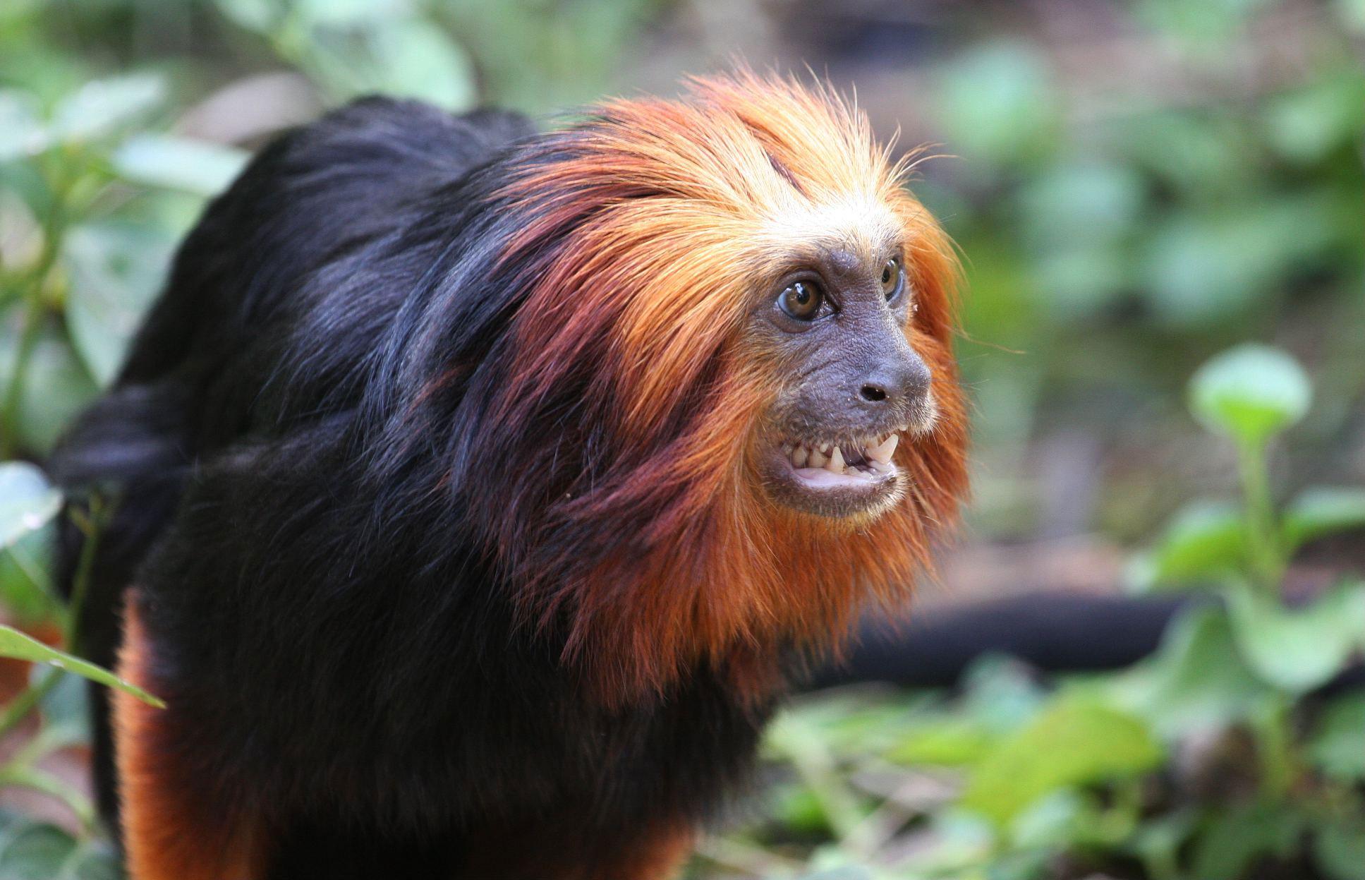 Golden-headed Lion Tamarin - Black Faced Langur Monkey , HD Wallpaper & Backgrounds