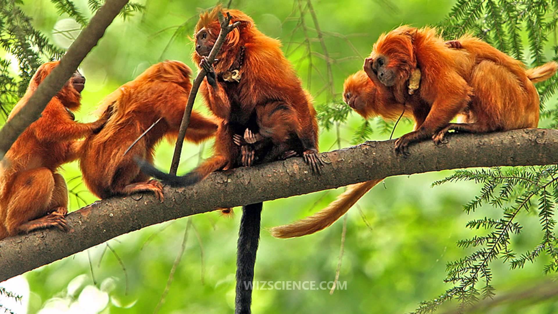 Tamarin Wallpaper Hd - Golden Lion Tamarin Group , HD Wallpaper & Backgrounds
