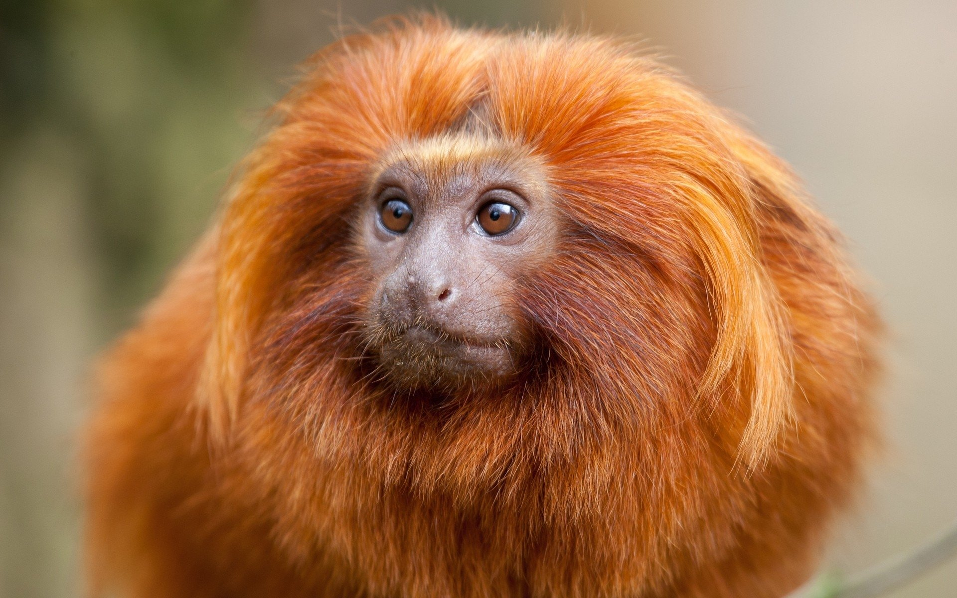 Monkey With A Mane , HD Wallpaper & Backgrounds