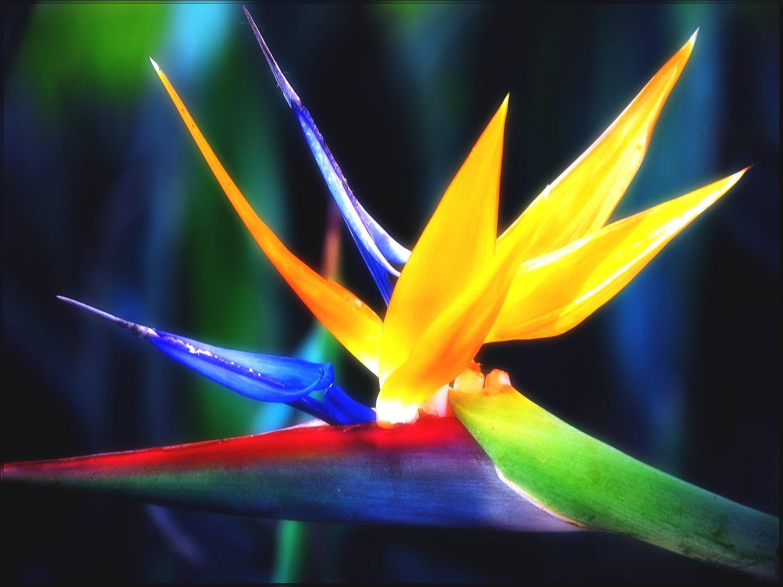 Best Bird Of Paradise Flower - Flor Bird Of Paradise , HD Wallpaper & Backgrounds