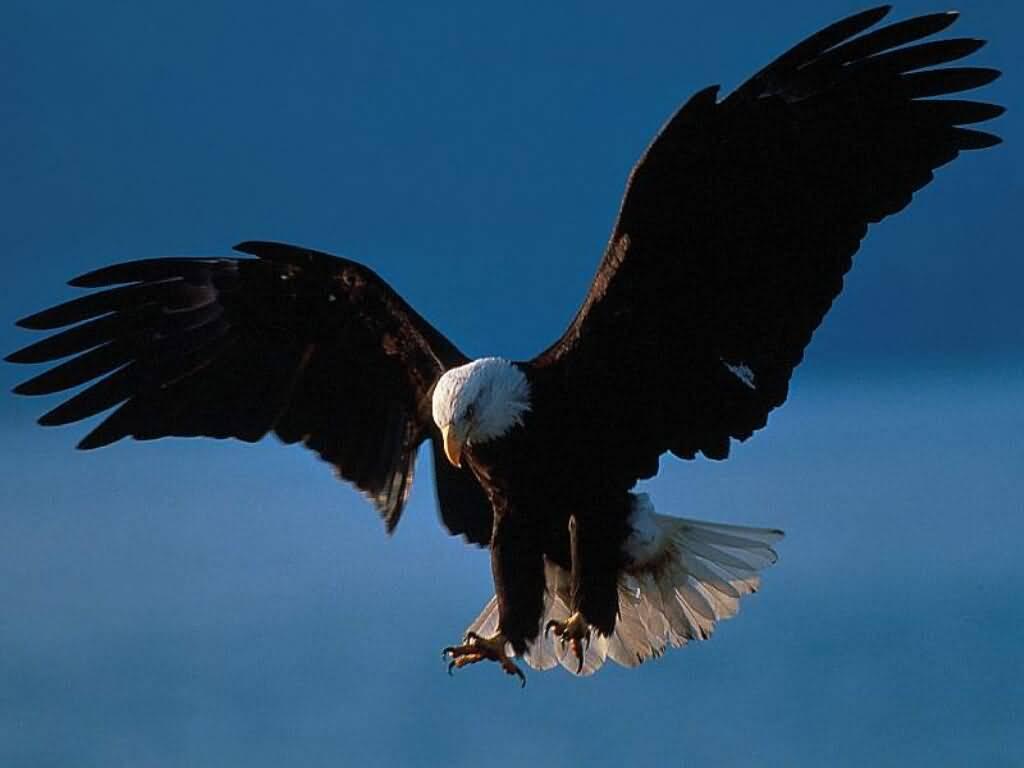 Burung Rajawali Burung Elang Gambarbinatangcom Sign Of Eagle