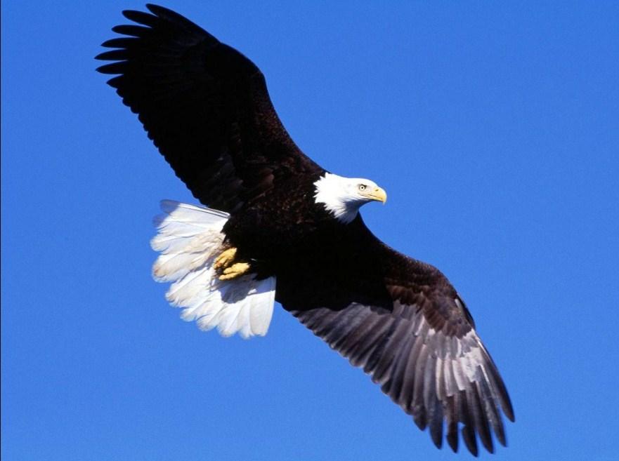 Gambar Burung Elang Terbang Tinggi Como 541047 Hd Wallpaper Backgrounds Download