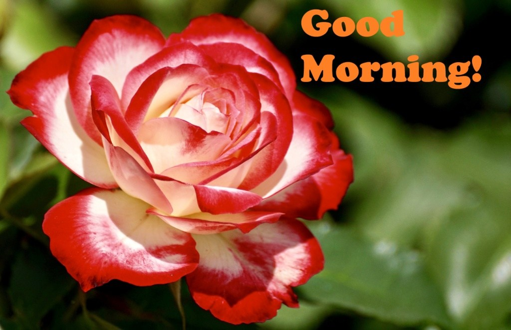 Good Morning Flowers Wallpapers