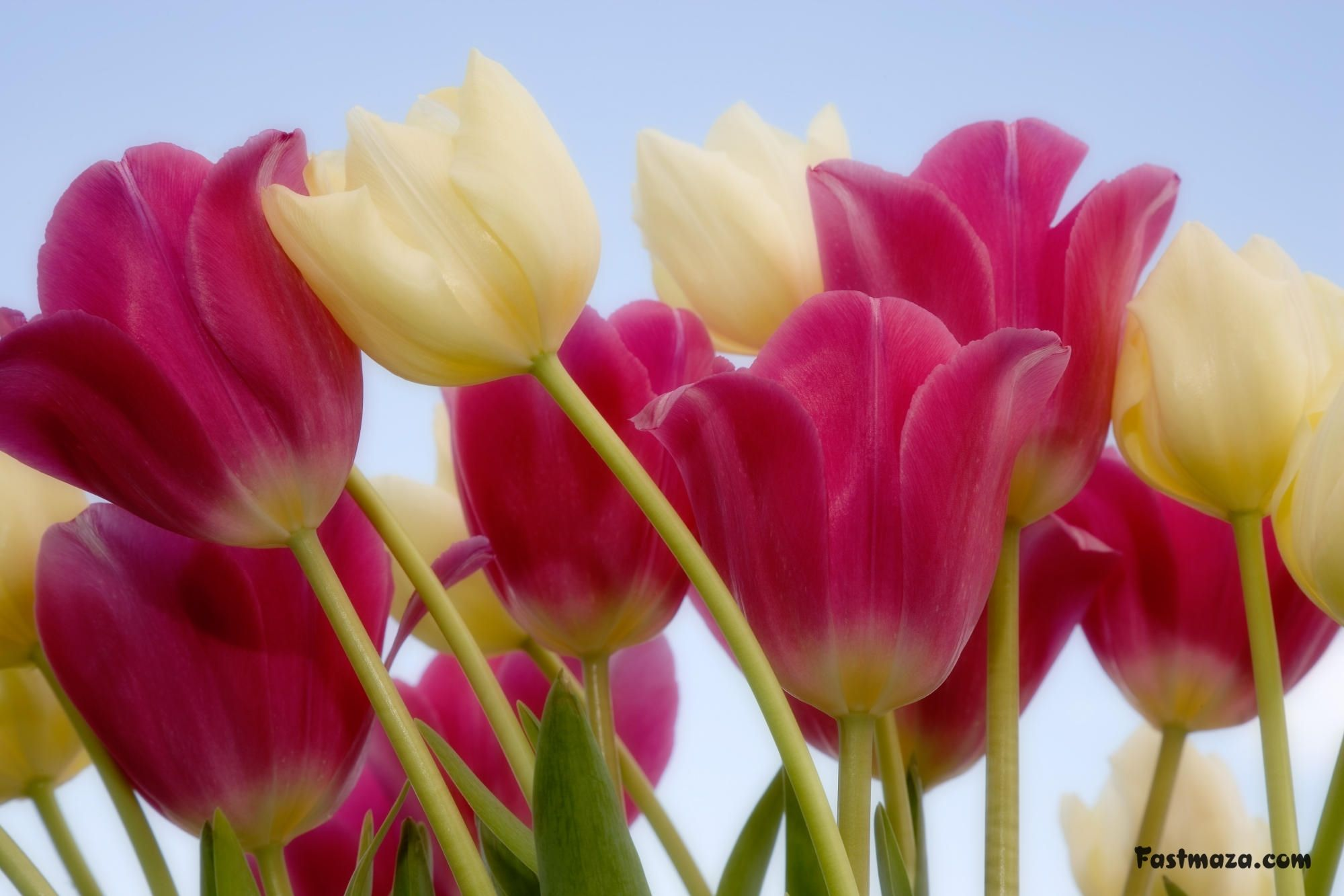 Beautiful Flowers Pictures, Flower Pictures, Beautiful - Most Beautiful Tulip Flower , HD Wallpaper & Backgrounds