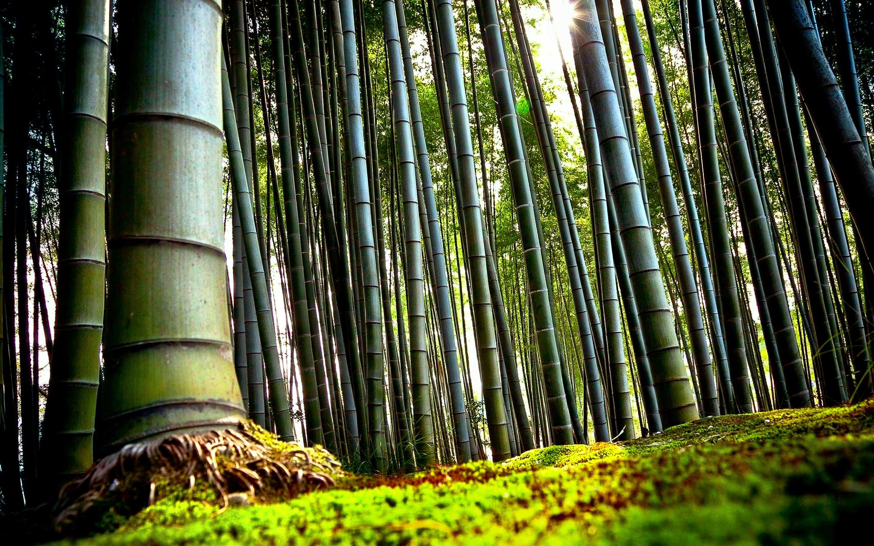 Wallpaper Nature Full Size Desktop 2014 Chinese Bamboo Tree Roots 560621 Hd Wallpaper Backgrounds Download