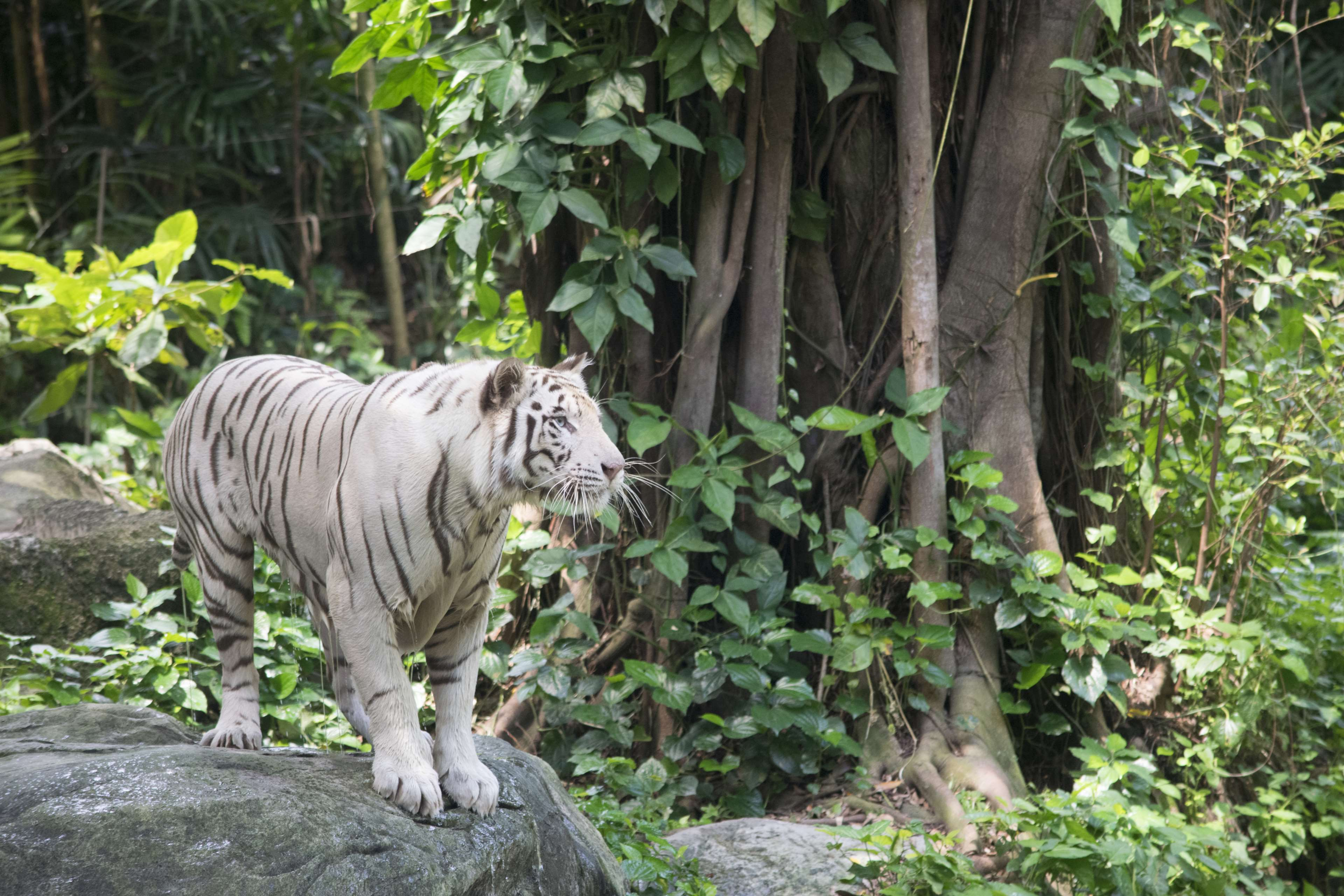 Animal, Big, Cat, Danger, Dangerous, Feline, Fur, Furry, - Hábitat Del Tigre De Bengala Blanco , HD Wallpaper & Backgrounds