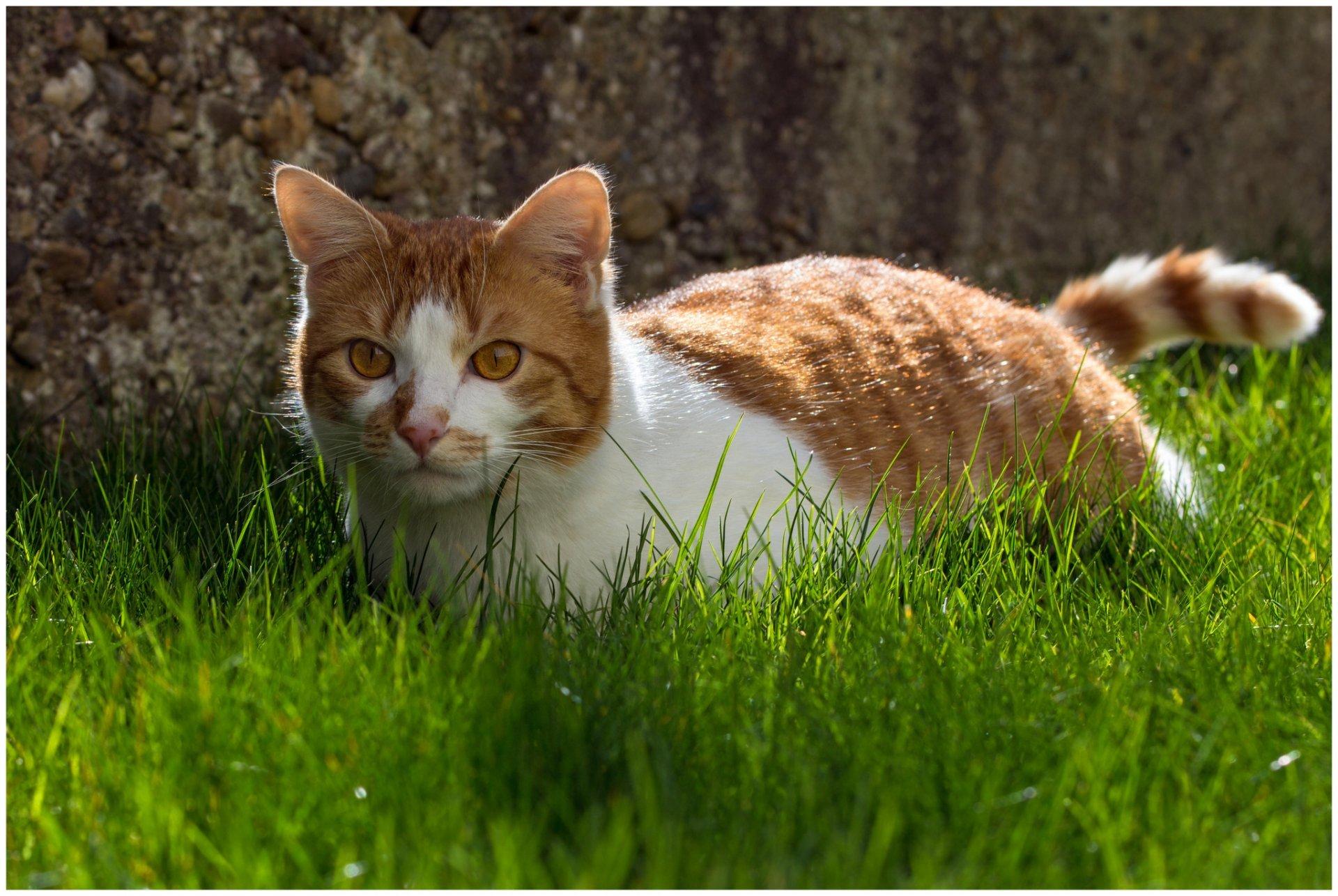 Cat Animals Grass Animal Background Wallpaper Widescreen - Cat With Grass Background , HD Wallpaper & Backgrounds