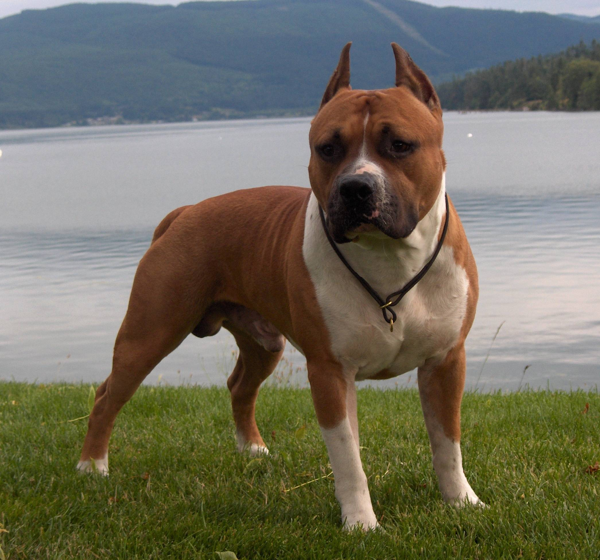58 588898 cool images of pitbull dogs hd download pit