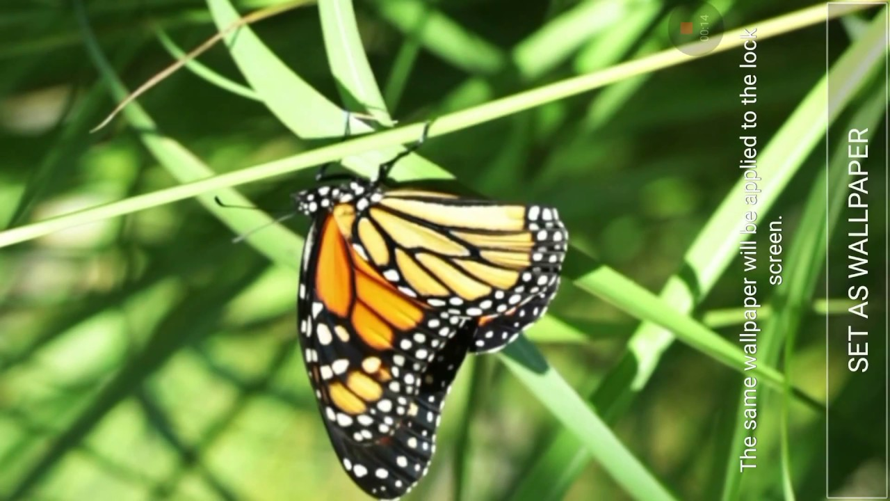 Butterflies Live Wallpaper - Beautiful Butterfly , HD Wallpaper & Backgrounds