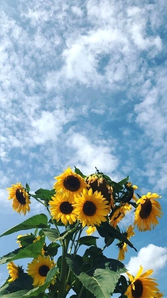 Pin By On Wallpapers In Flowers Wallpaper And Sunflower