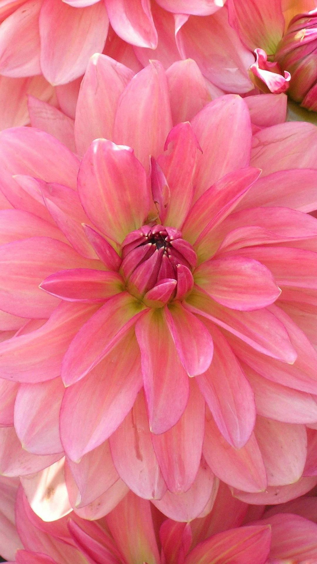Flower - Flower Iphone Wallpaper Hd , HD Wallpaper & Backgrounds