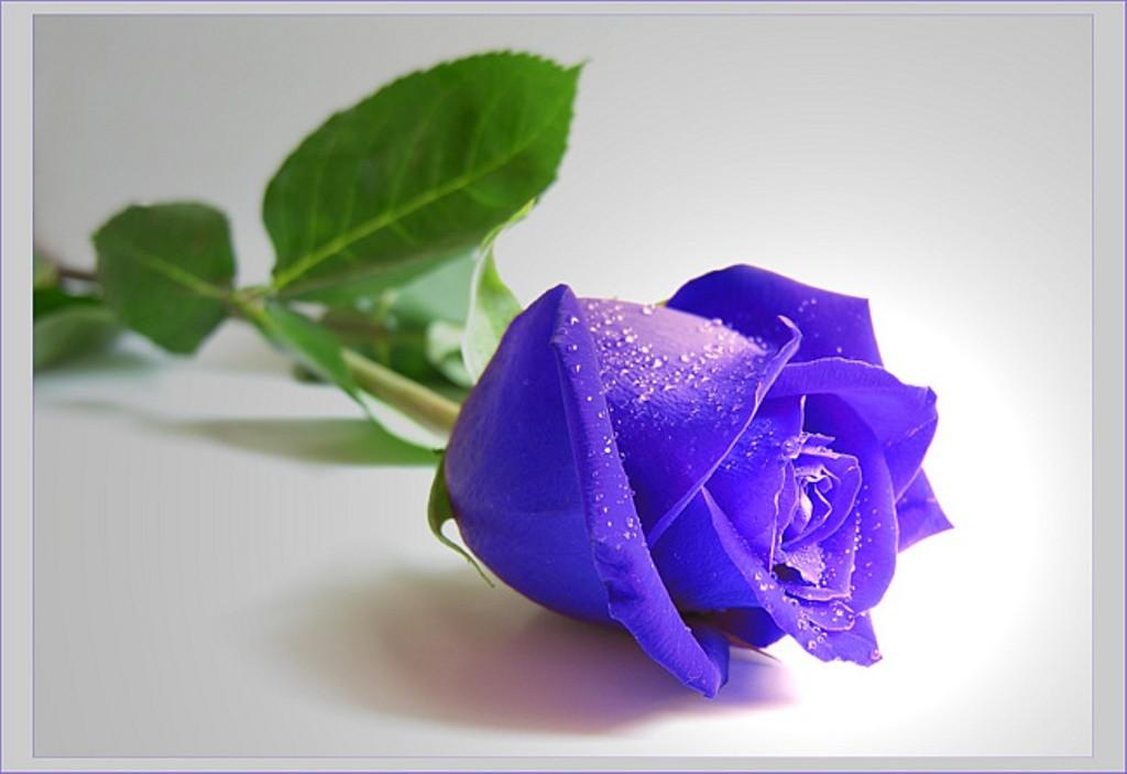 Single Rose Wallpaper - Beautiful Blue Rose Flowers , HD Wallpaper & Backgrounds