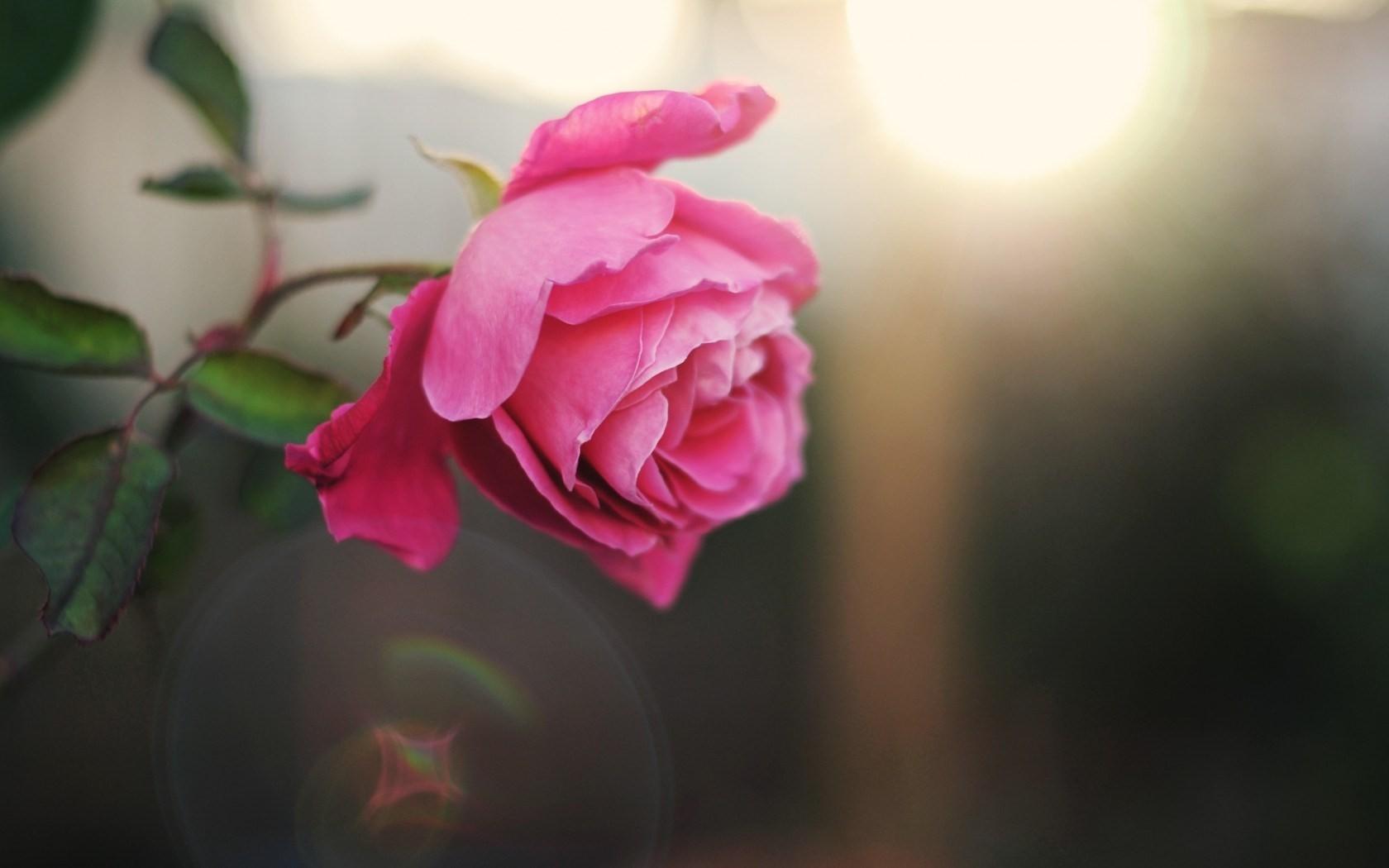 Pink Petals Flower Love Single Rose Wallpaper For Desktop - 3d Single Rose Flower , HD Wallpaper & Backgrounds