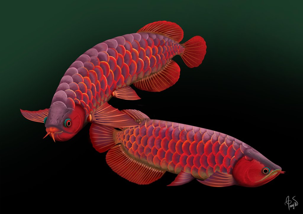 Arowana Wallpaper Red Arowana 627976 Hd Wallpaper Backgrounds Download
